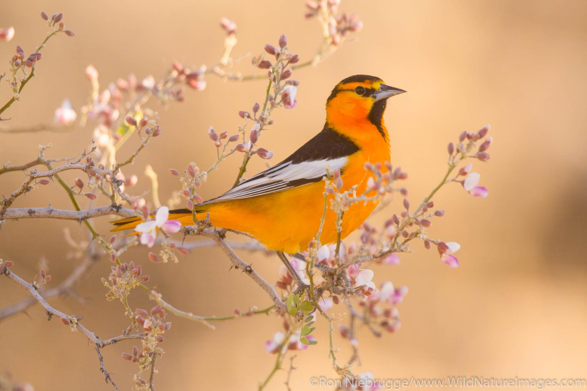 Tucson, Arizona, Bullock's oriole, bird, photos, photo