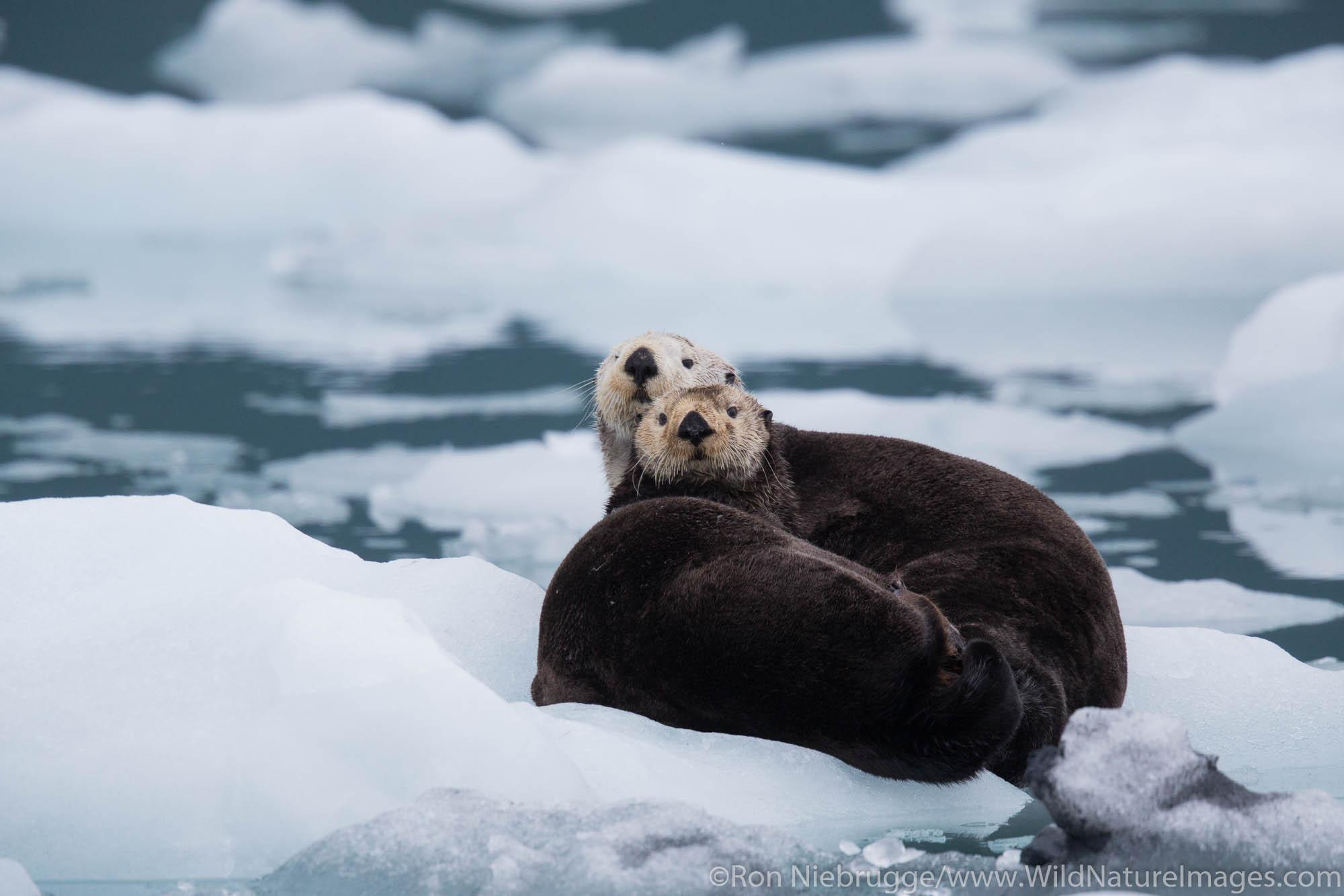 Sea otter, Prince William Sound, Chugach National Forest, Alaska.