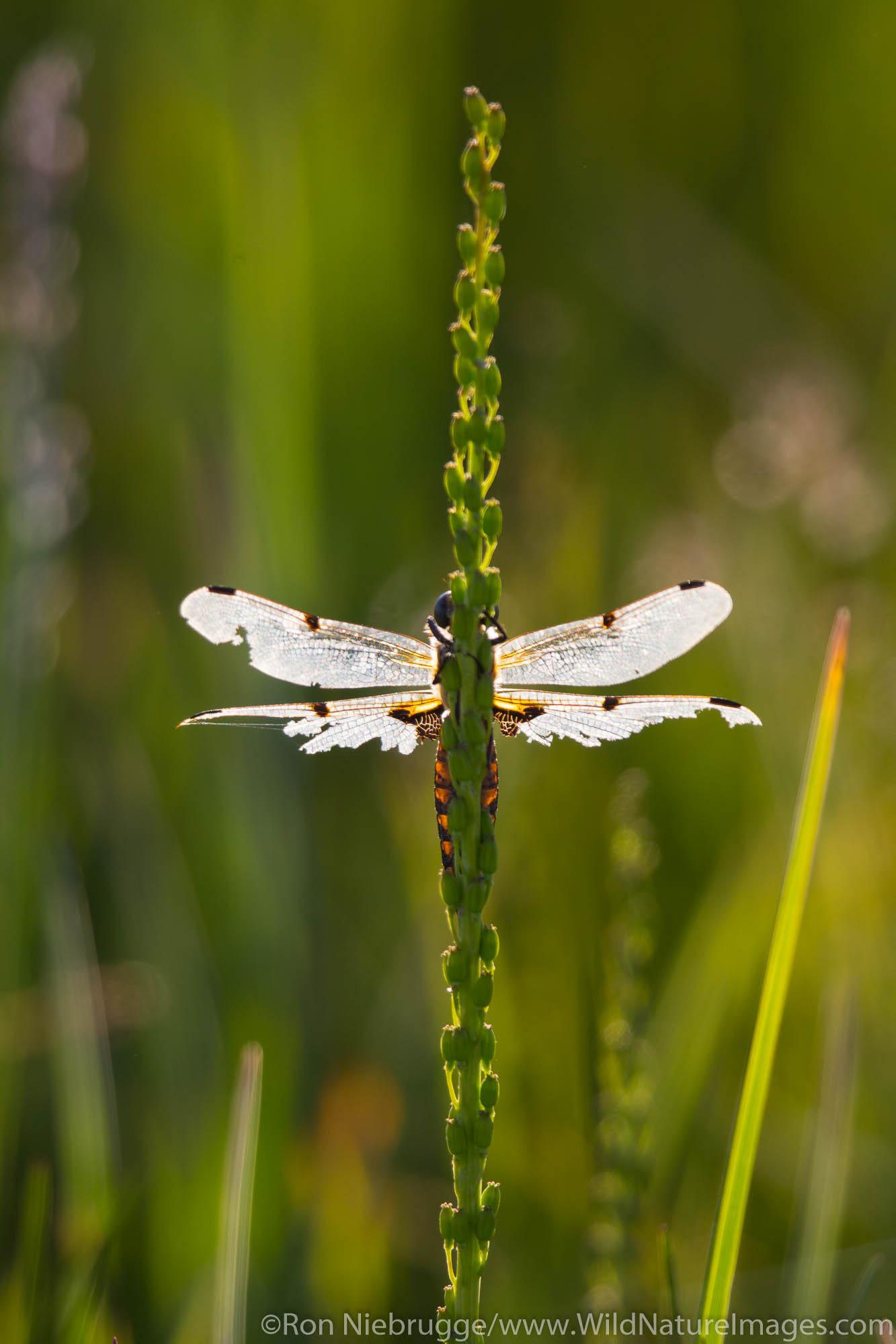 Dragonfly, Lake Clark National Park, Alaska.