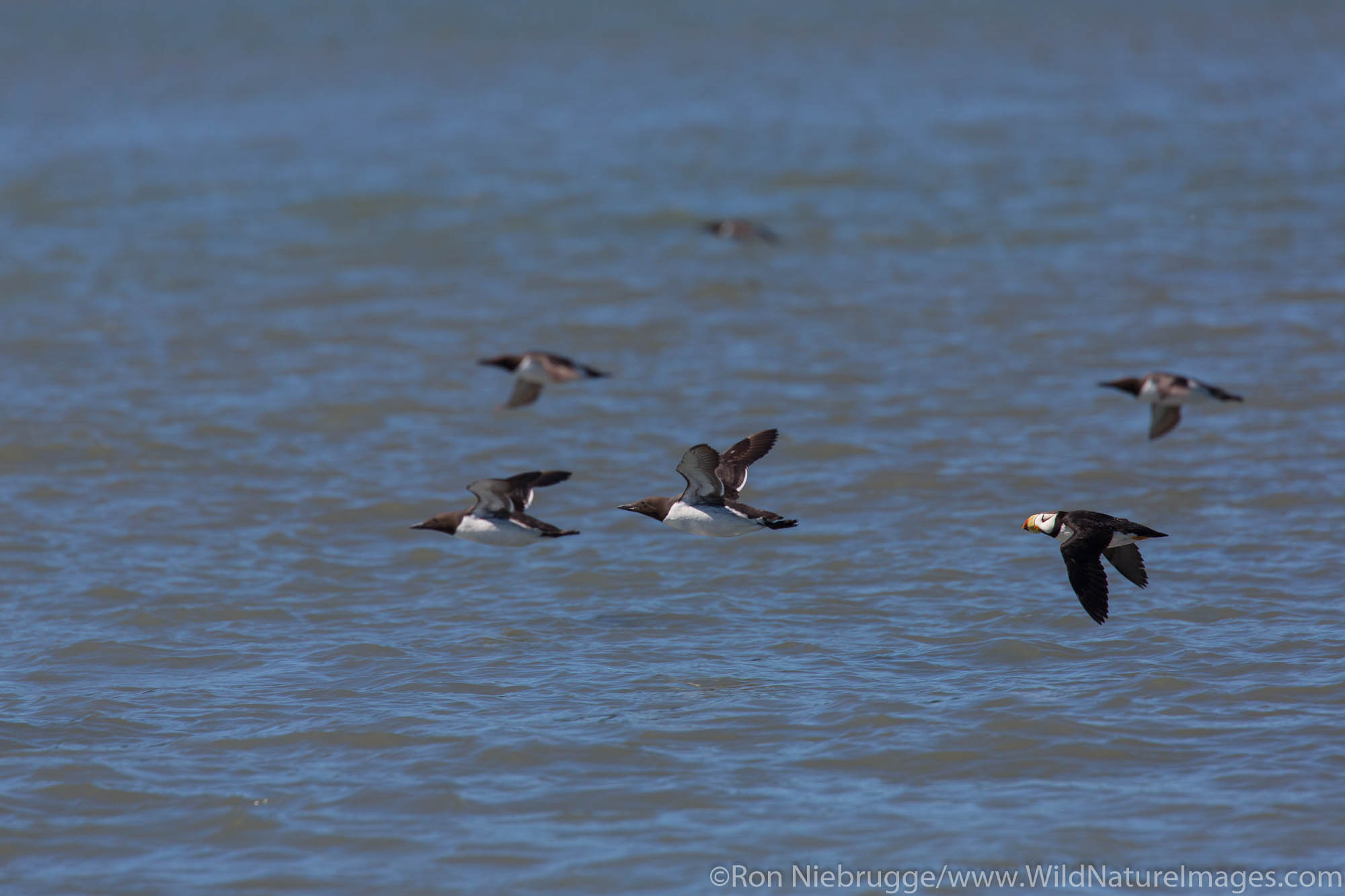 Murres and Horned Puffin in flight, Lake Clark National Park, Alaska.