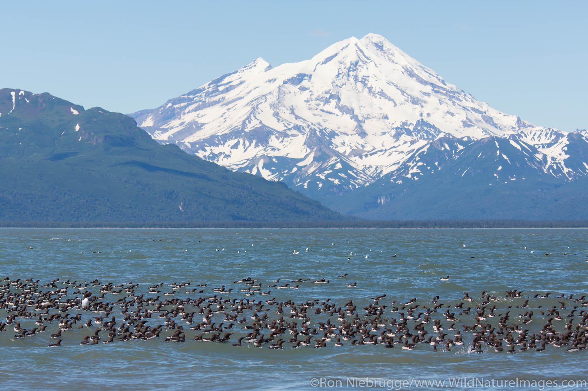 Raft of Common  Murres with Mt Redoubt volcano,  Lake Clark National Park, Alaska.