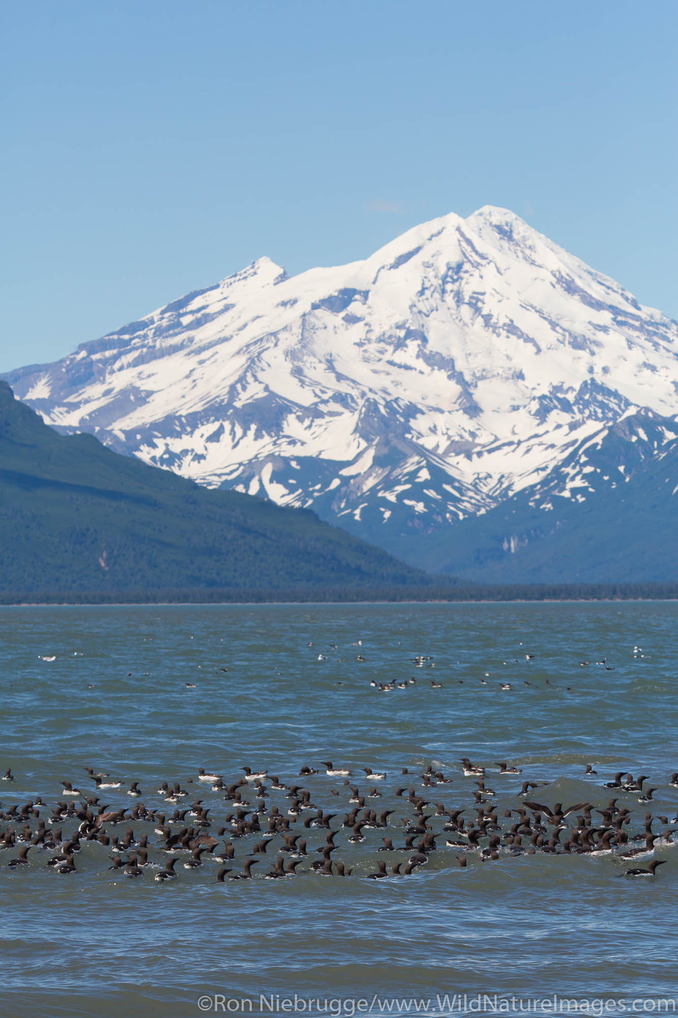 Raft of Common  Murres with Mt Redoubt volcano,  Lake Clark National Park, Alaska.