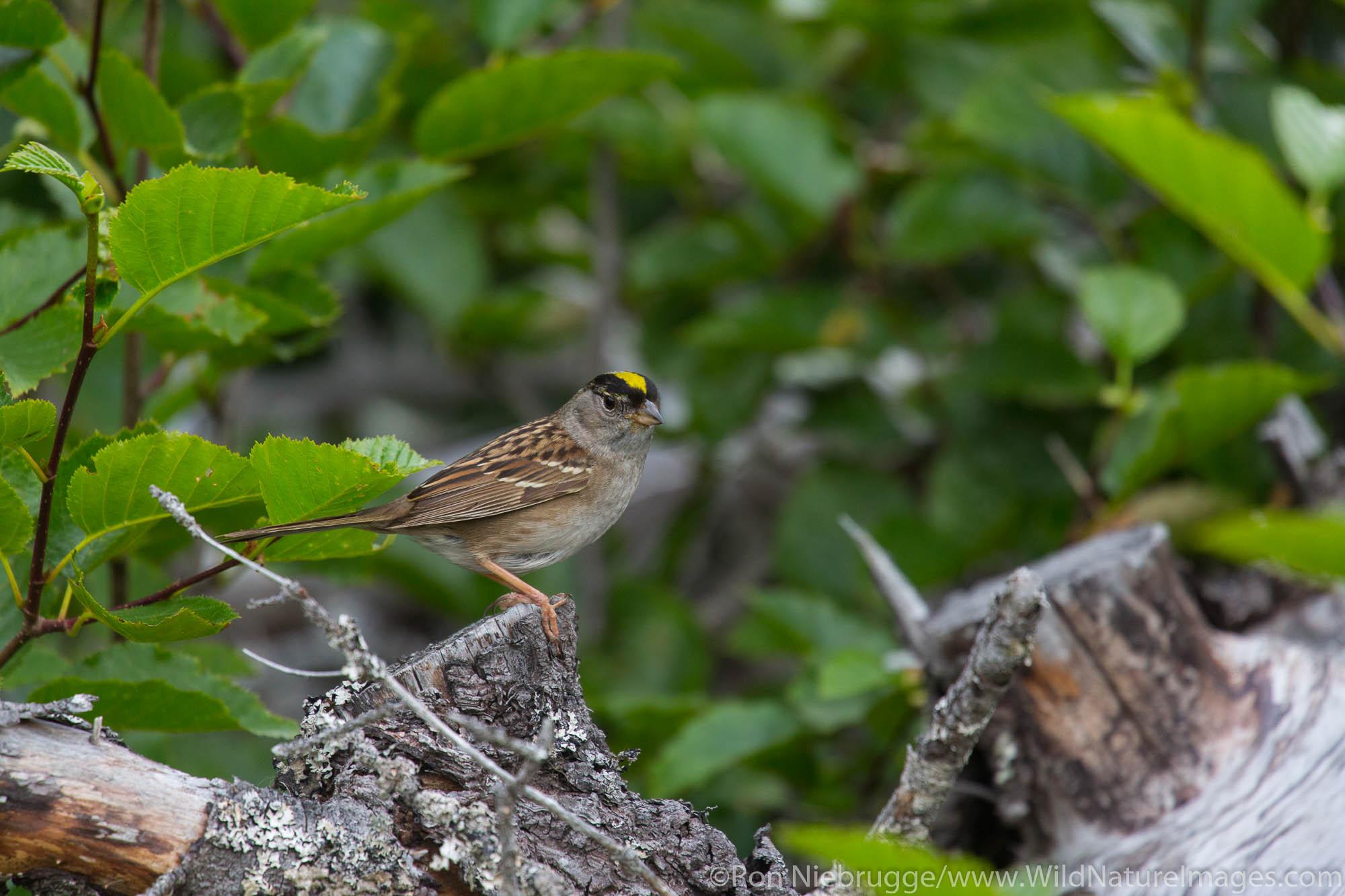 Golden-crowned sparrow, Lake Clark National Park, Alaska.