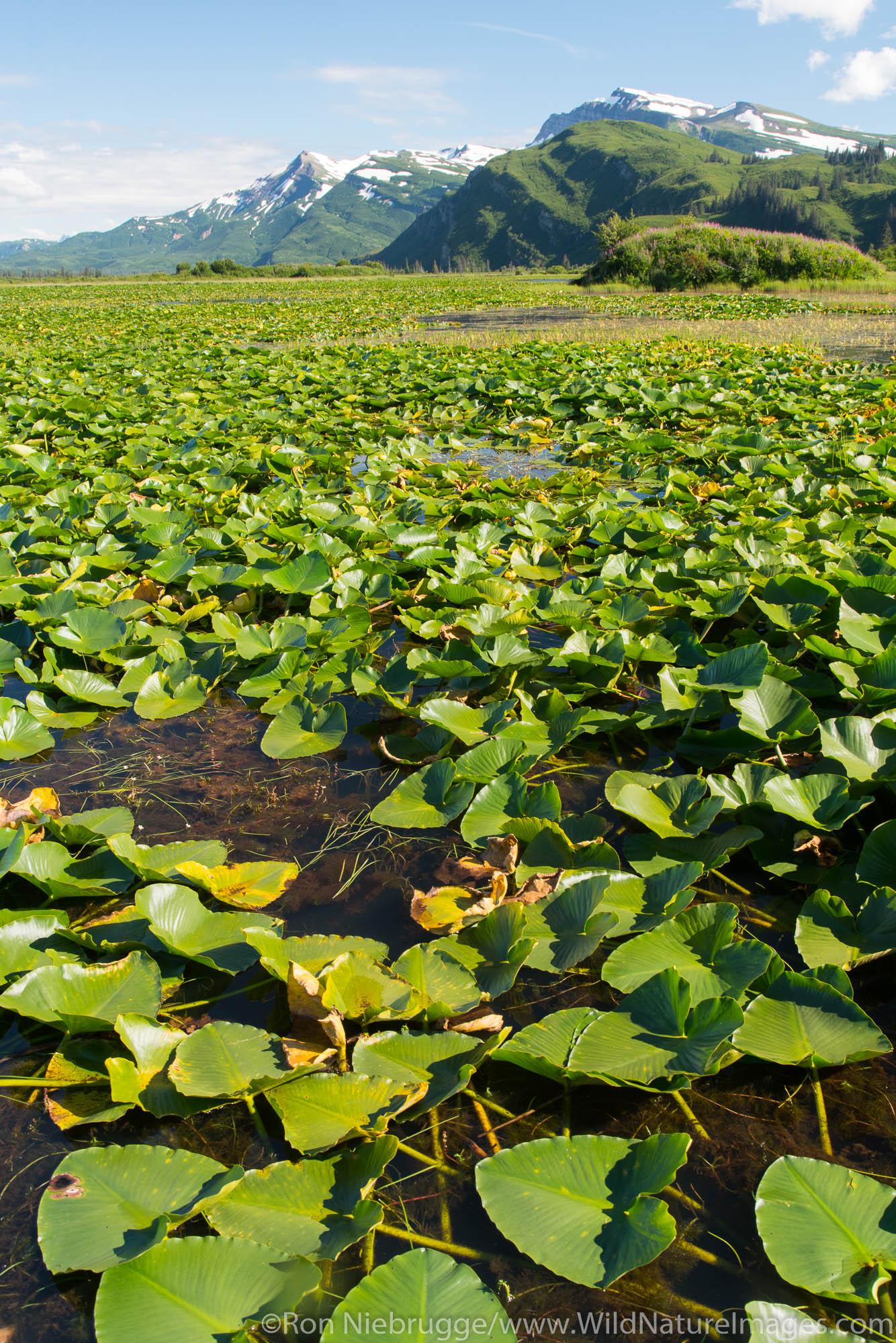 Lily pond, Lake Clark National Park, Alaska.