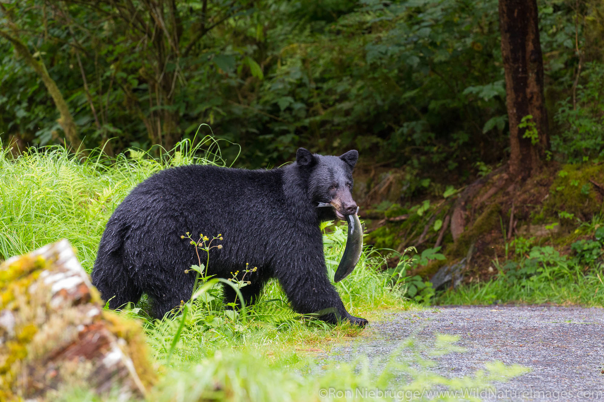 Anan Creek Bear Observatory, Tongass National Forest, Alaska.