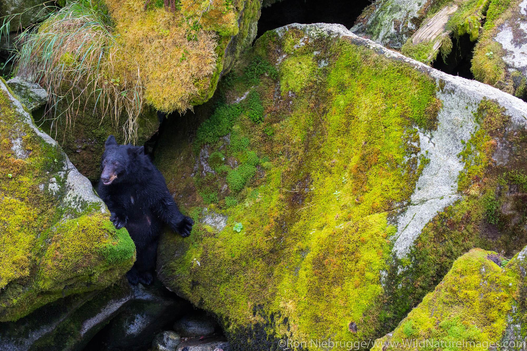 Anan Creek Bear Observatory, Tongass National Forest, Alaska.