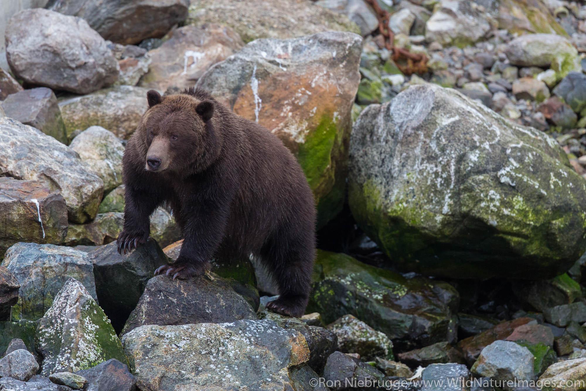Brown bears, Baranof Island, Tongass National Forest, Alaska.