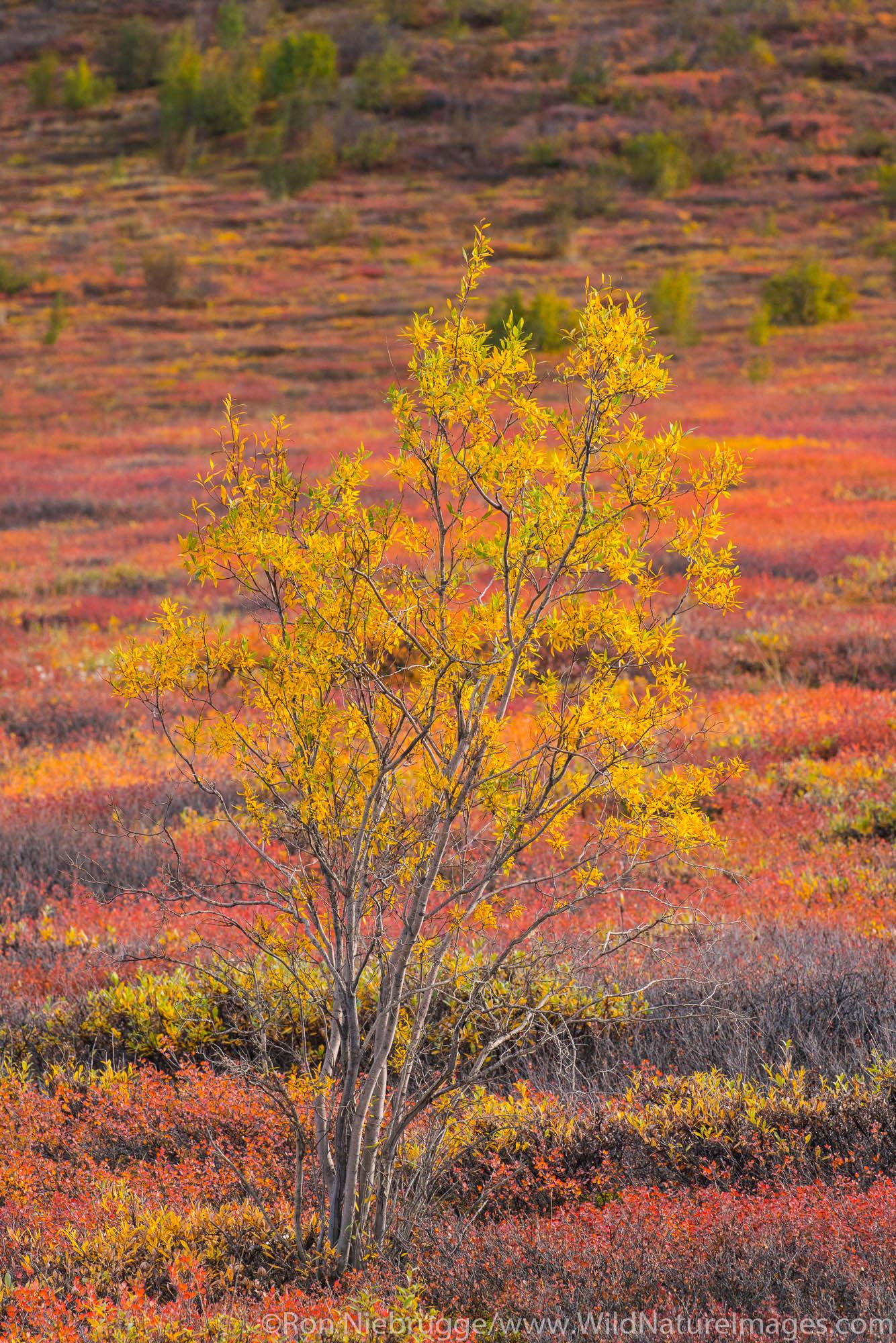 Autumn colors in the Brooks Range, Arctic Alaska.