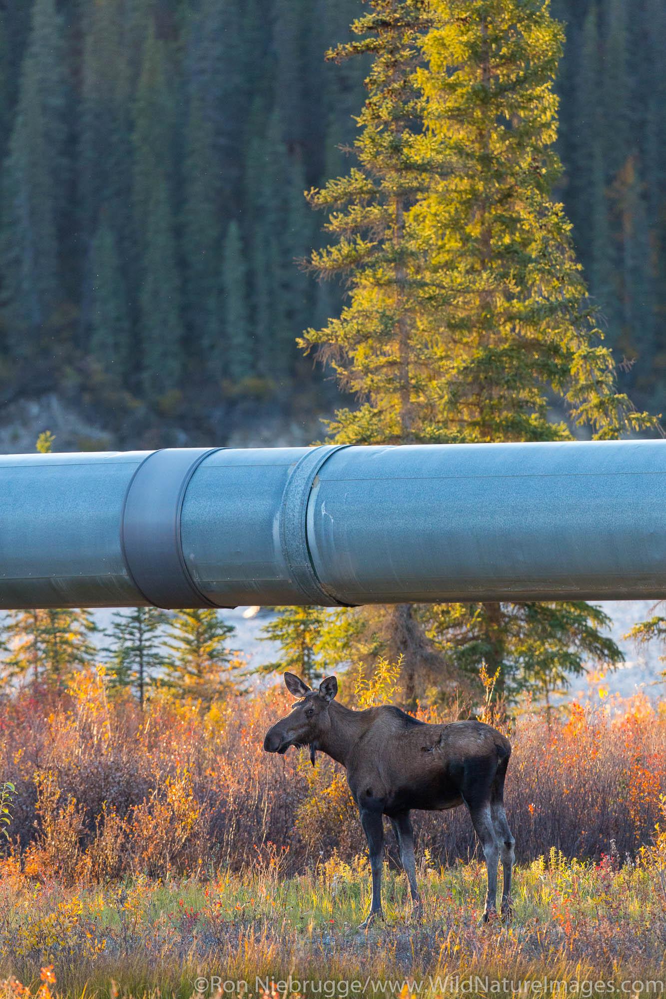 Moose and the Alyeska Trans Alaska pipeline, Brooks Range, Arctic Alaska.