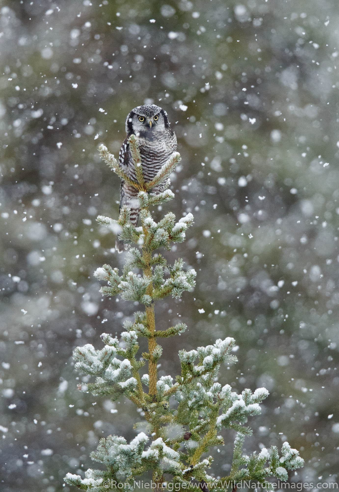 Northern hawk-owl in a snowstorm Arctic Alaska.