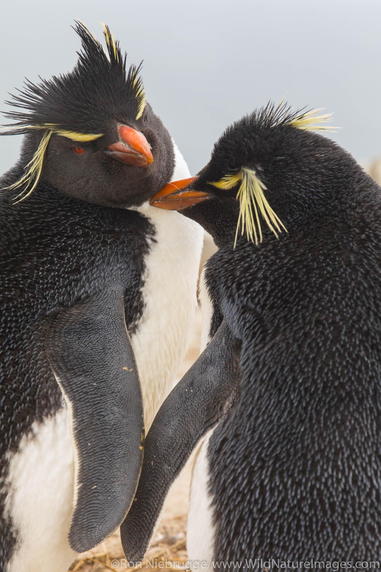 Rockhopper Penguins, Sea Lion Island, Falkland Islands.