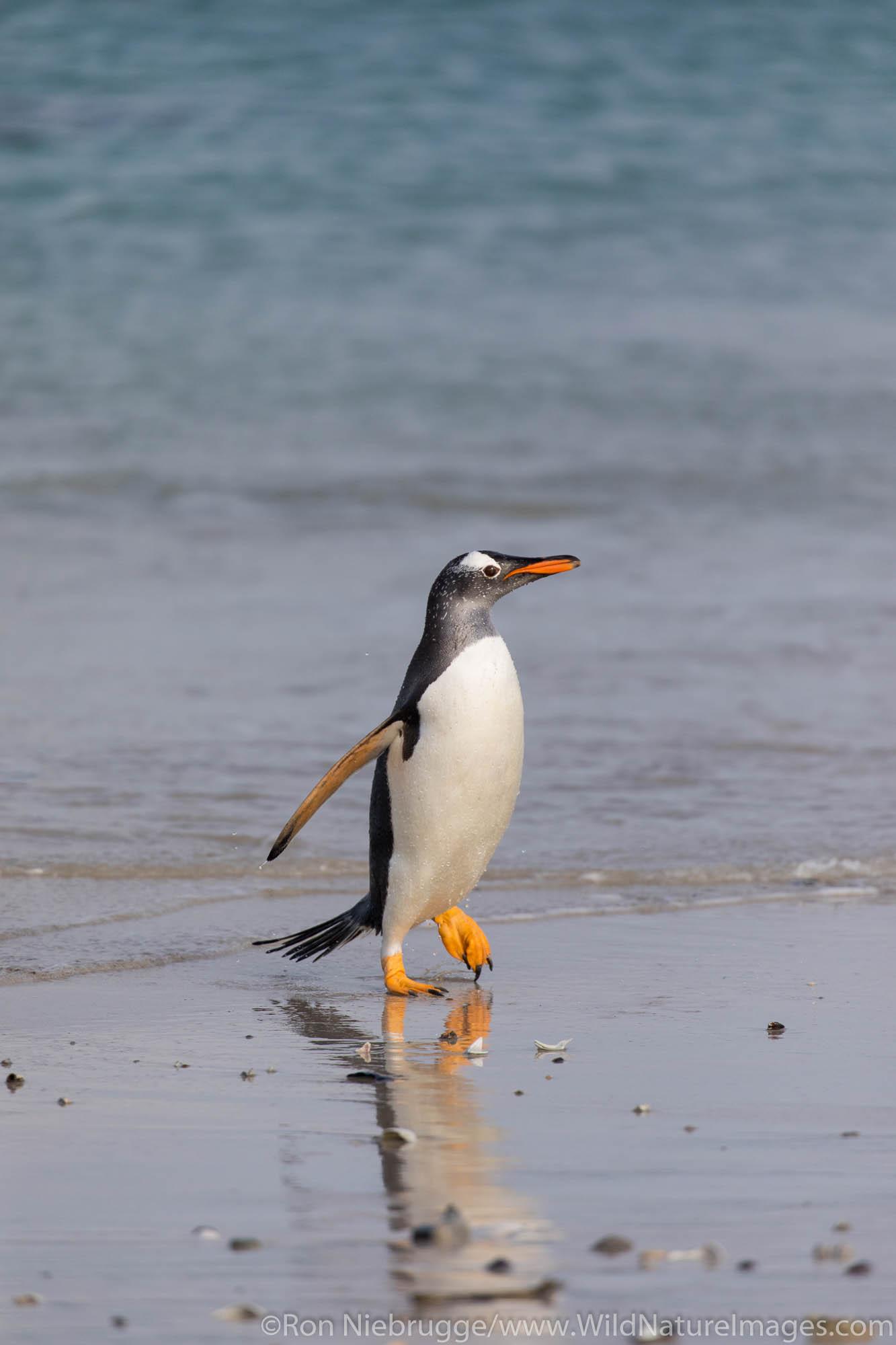Gentoo Penguin, Carcass Island, Falkland Islands.