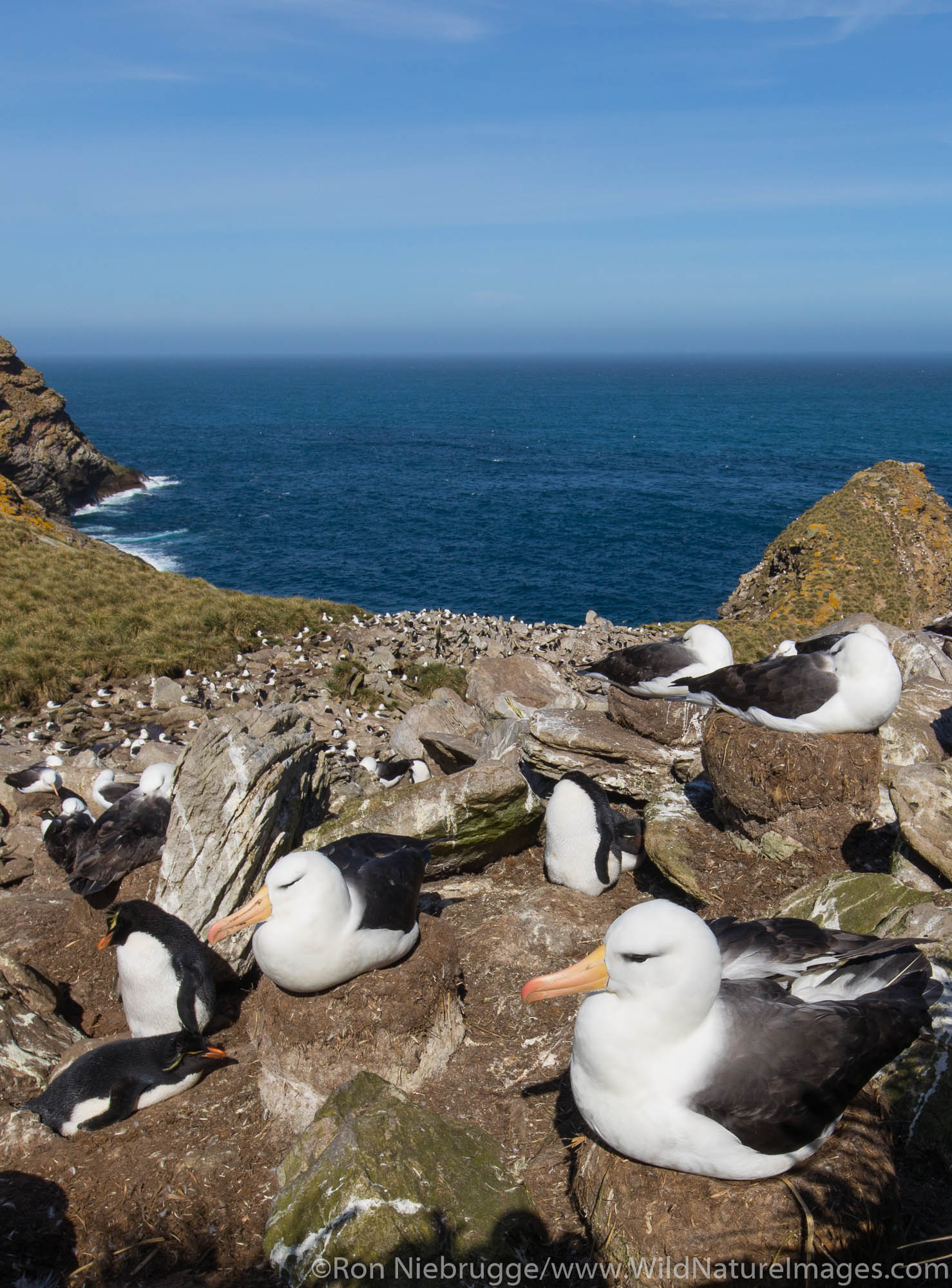 Black-browed Albatross and Rockhopper Penguins, West Point Island, Falkland Islands.