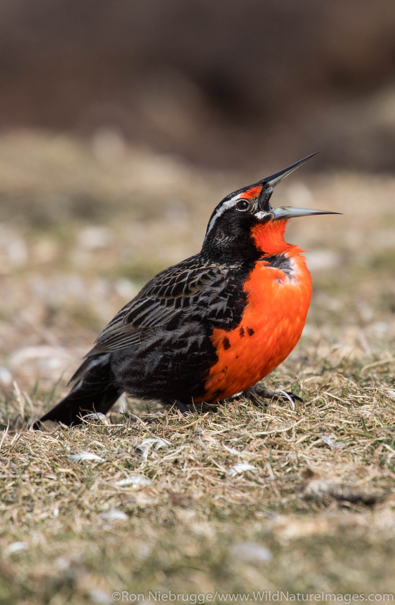Long-tailed meadowlark, Carcass Island, Falkland Islands.