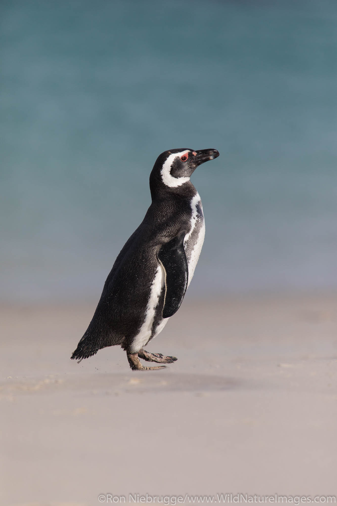 Magallanic Penguin, Carcass Island, Falkland Islands.