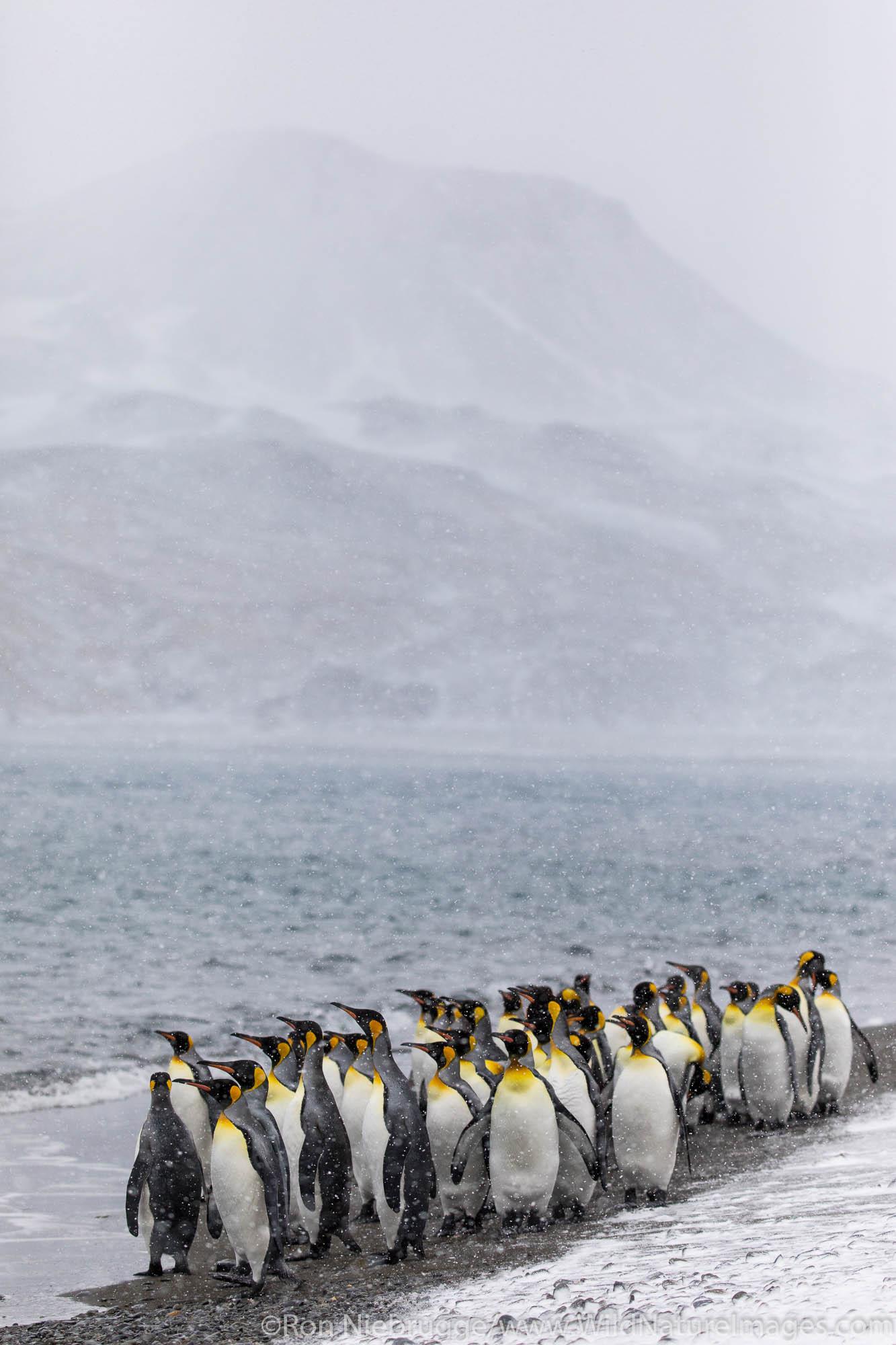King Penguins, Fortuna Bay, South Georgia, Antarctica.