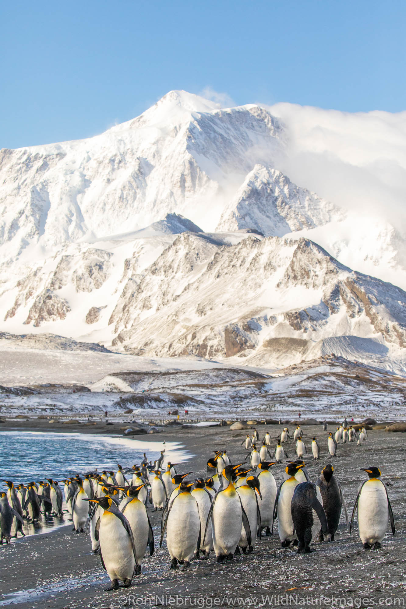King Penguins, St Andrews Bay, South Georgia, Antarctica.