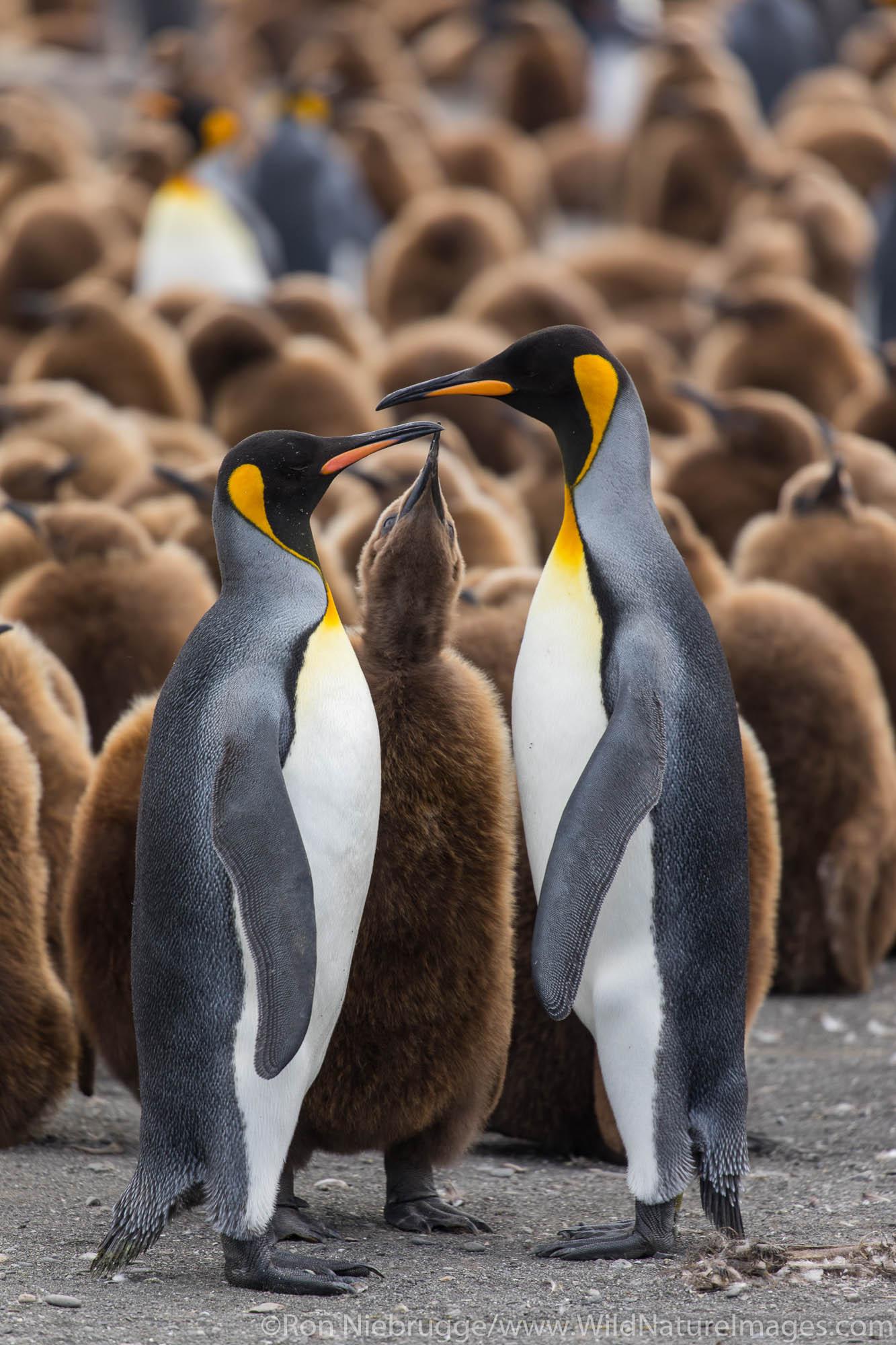 King Penguins, Gold Harbour, South Georgia, Antarctica.