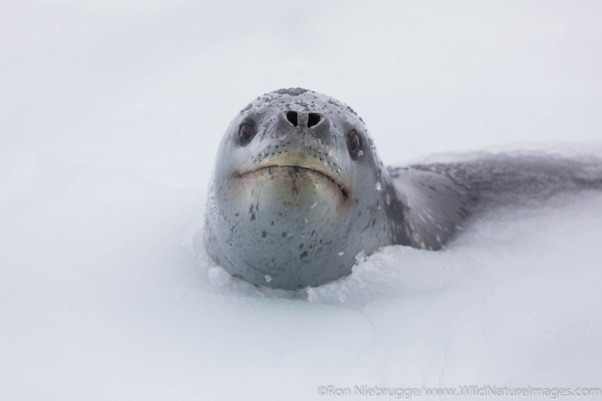 Leopard Seal, Right Whale Bay, South Georgia, Antarctica.