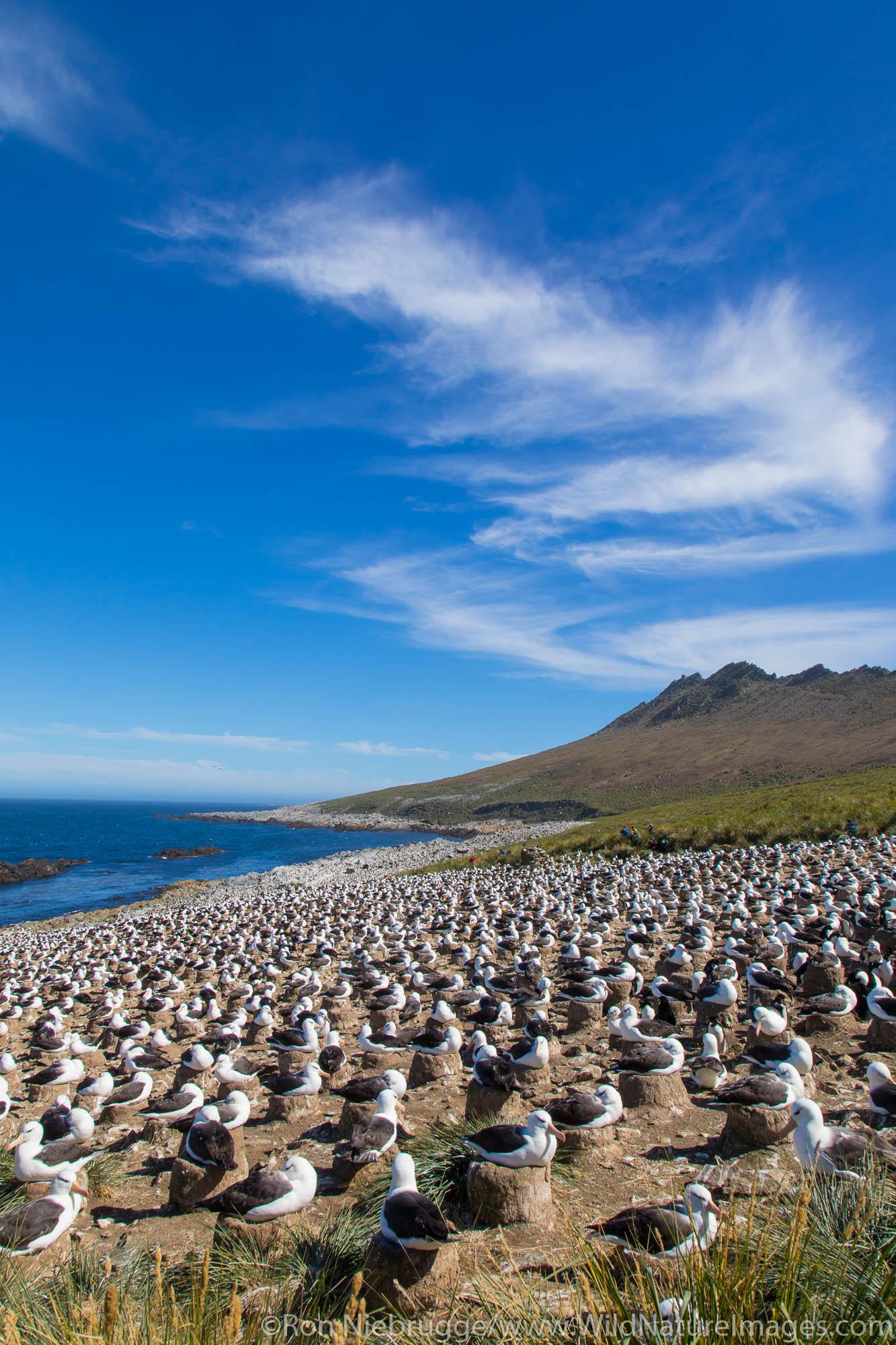Black-browed Albatross colony, Steeple Jason Island, Falkland Islands.