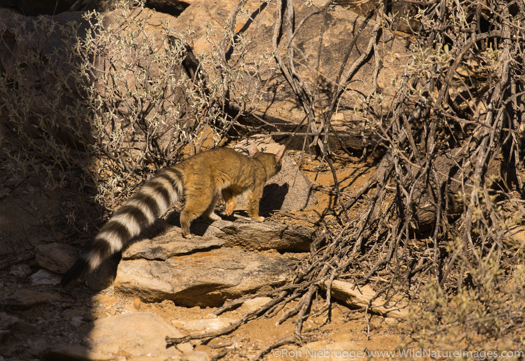 Ring-tailed cat. Arizona.