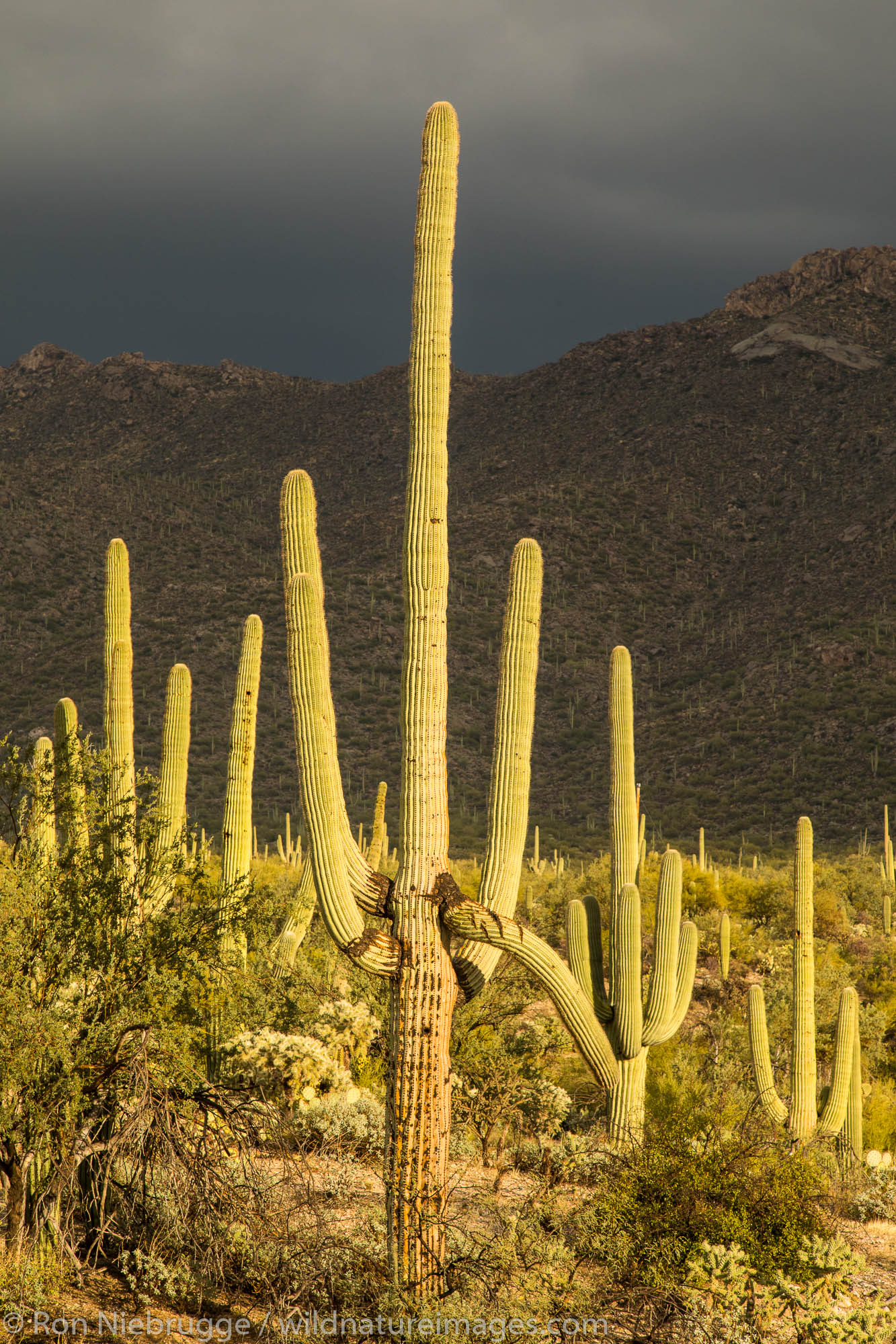 Saguaro cactus against stormy sky.  Arizona.
