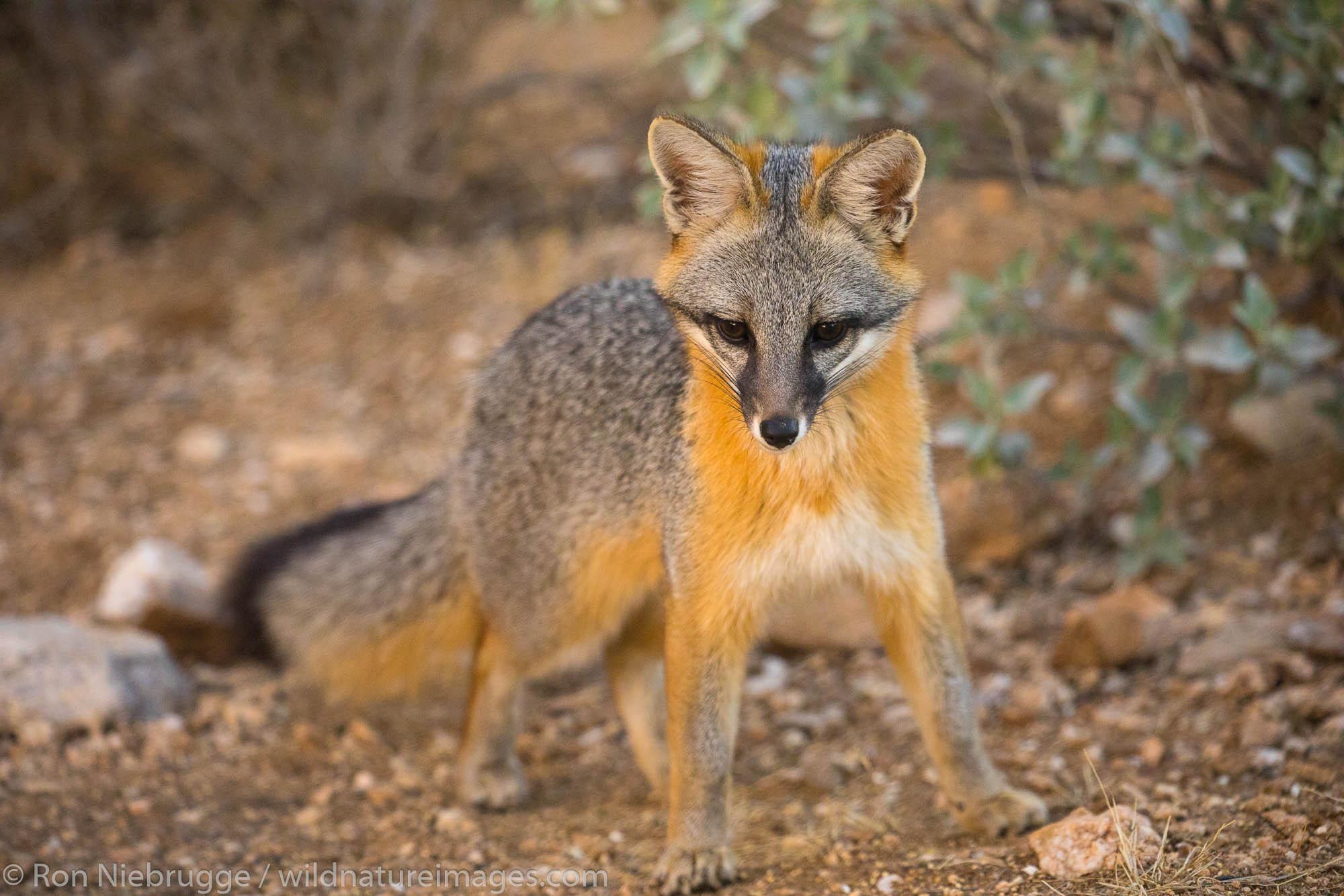 Gray Fox, Arizona.
