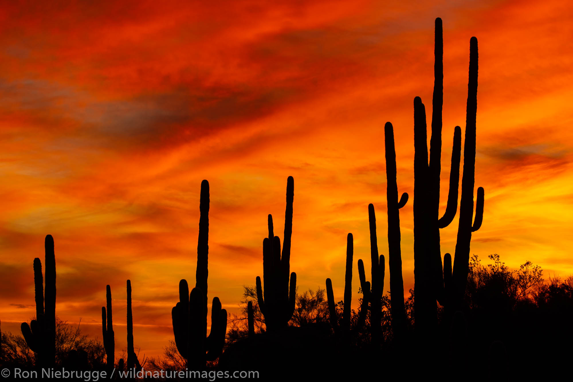 Saguaro cactus at sunset, Marana, near Tucson, Arizona.