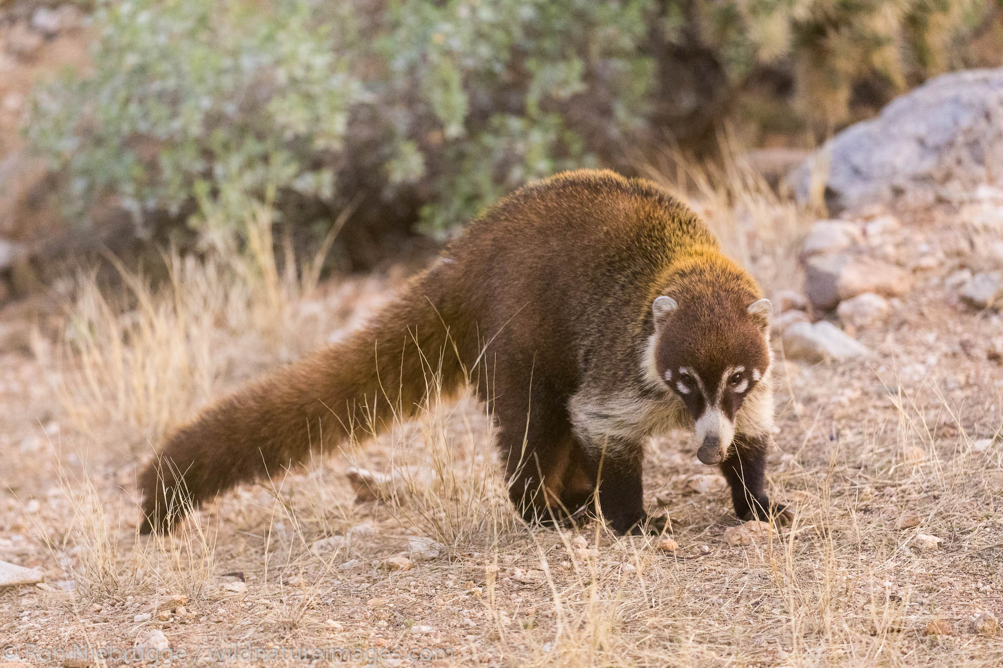 White-nosed coati.  Arizona.