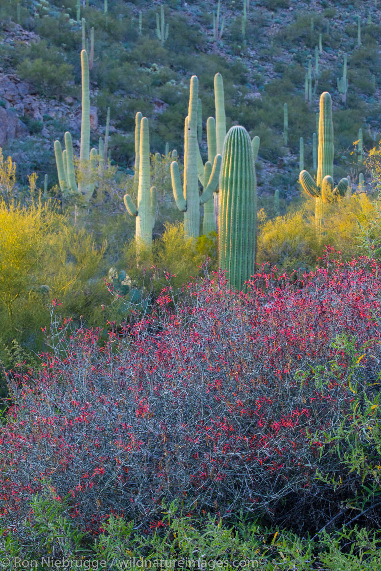 Sonoran Desert landscape, Arizona.