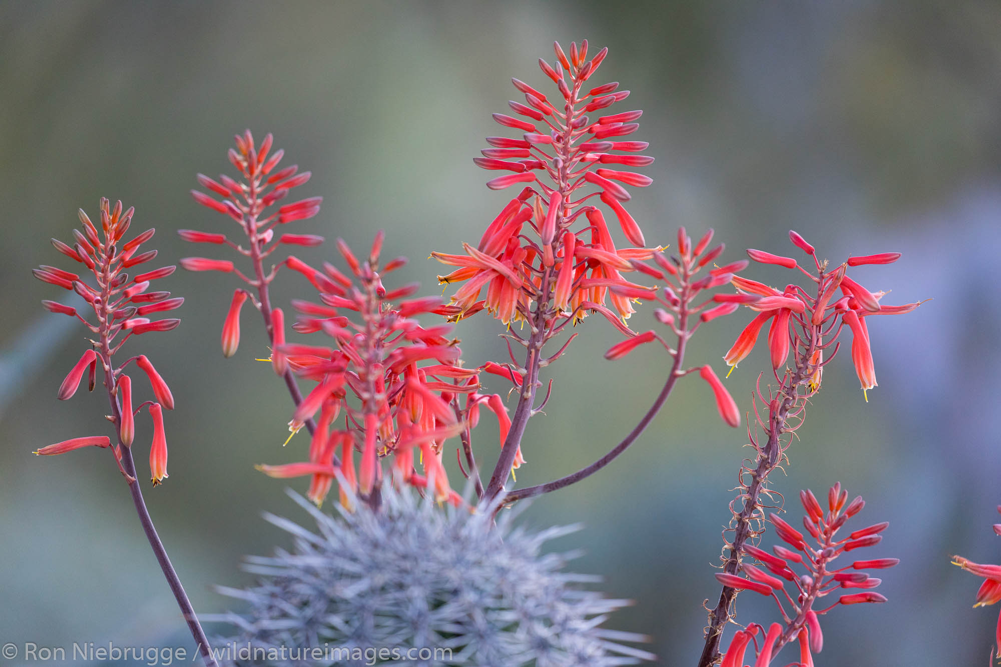 Flowering Aloe Vera, Arizona.