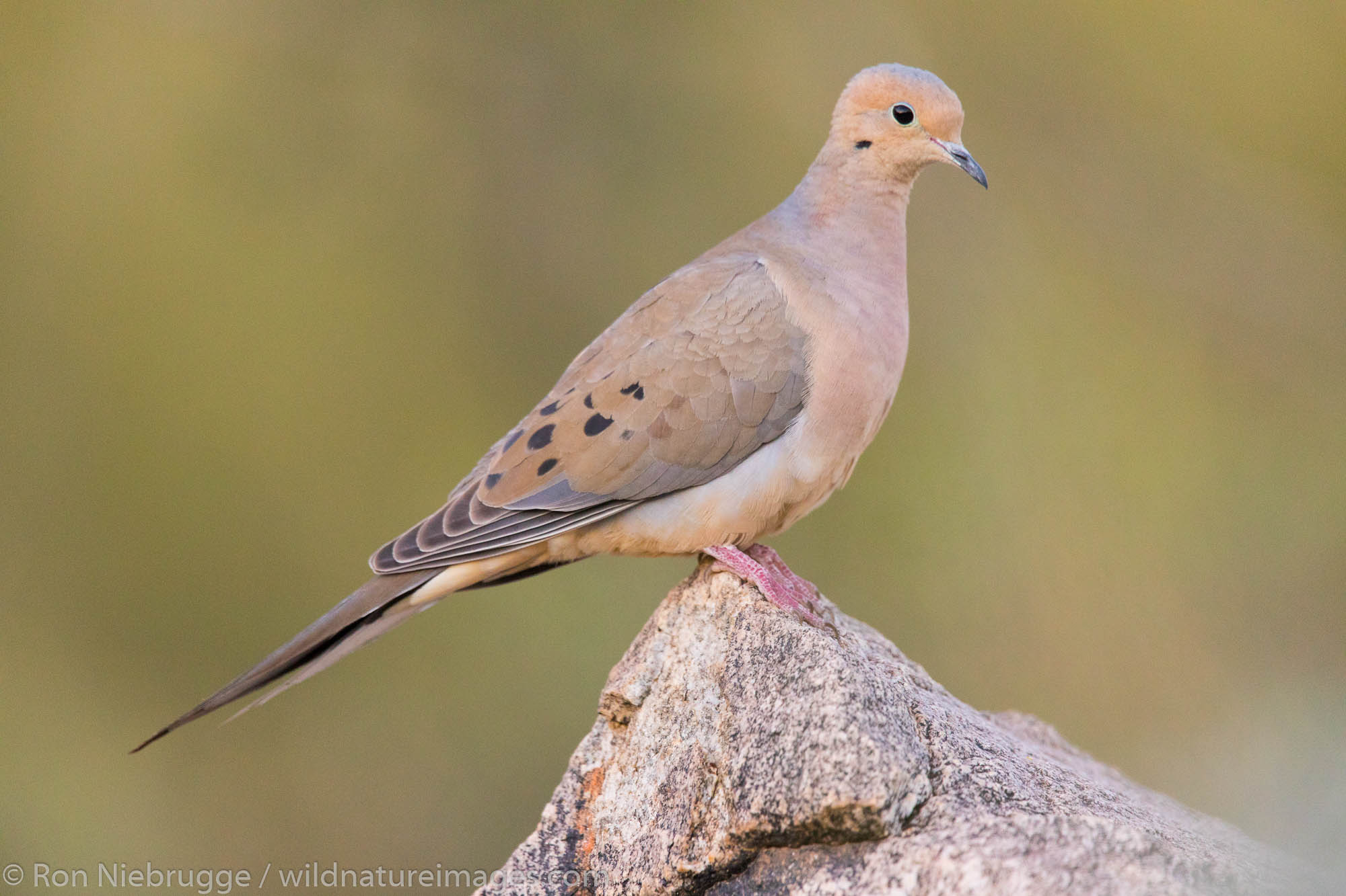 Mourning Dove, Arizona.