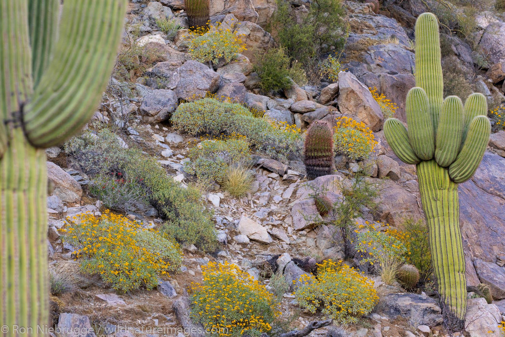 Saguaro Cactus, Marana, near Tucson, Arizona.