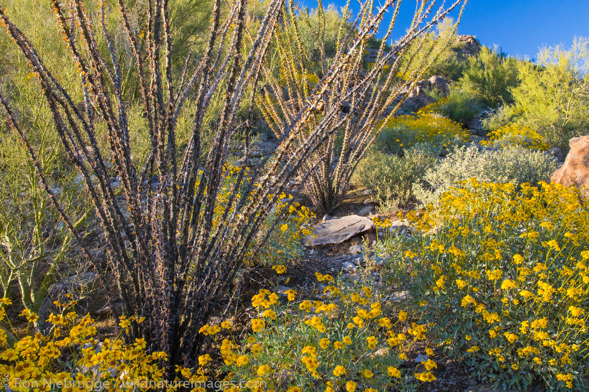Desert wildflowers in bloom.  Arizona.