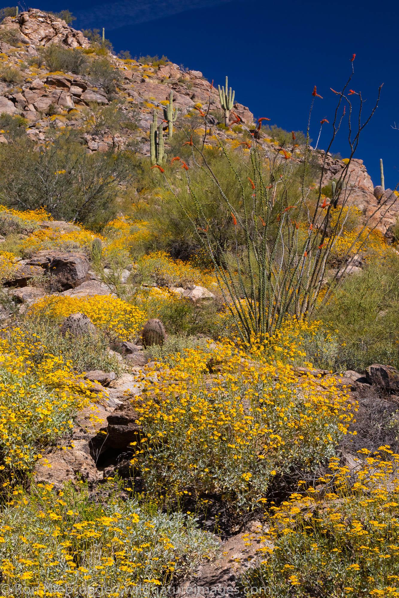 Desert wildflowers in bloom, Arizona.