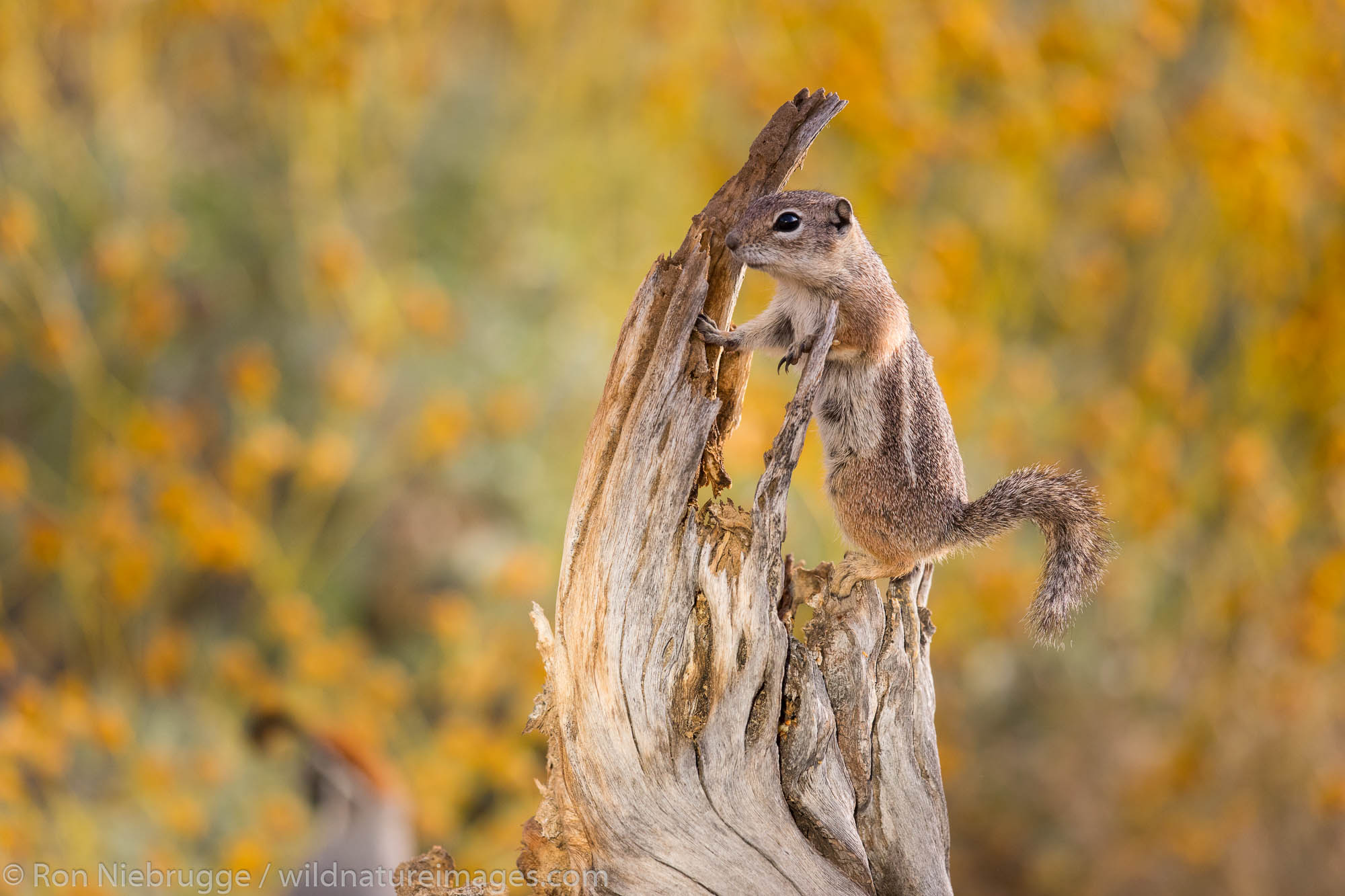 Antelope squirrel.  Arizona.