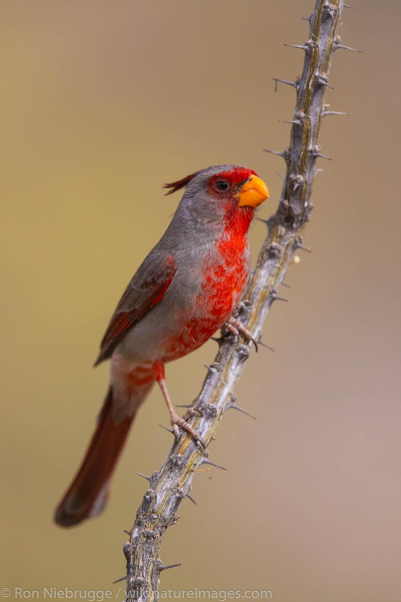 Pyrrhuloxia, Arizona.