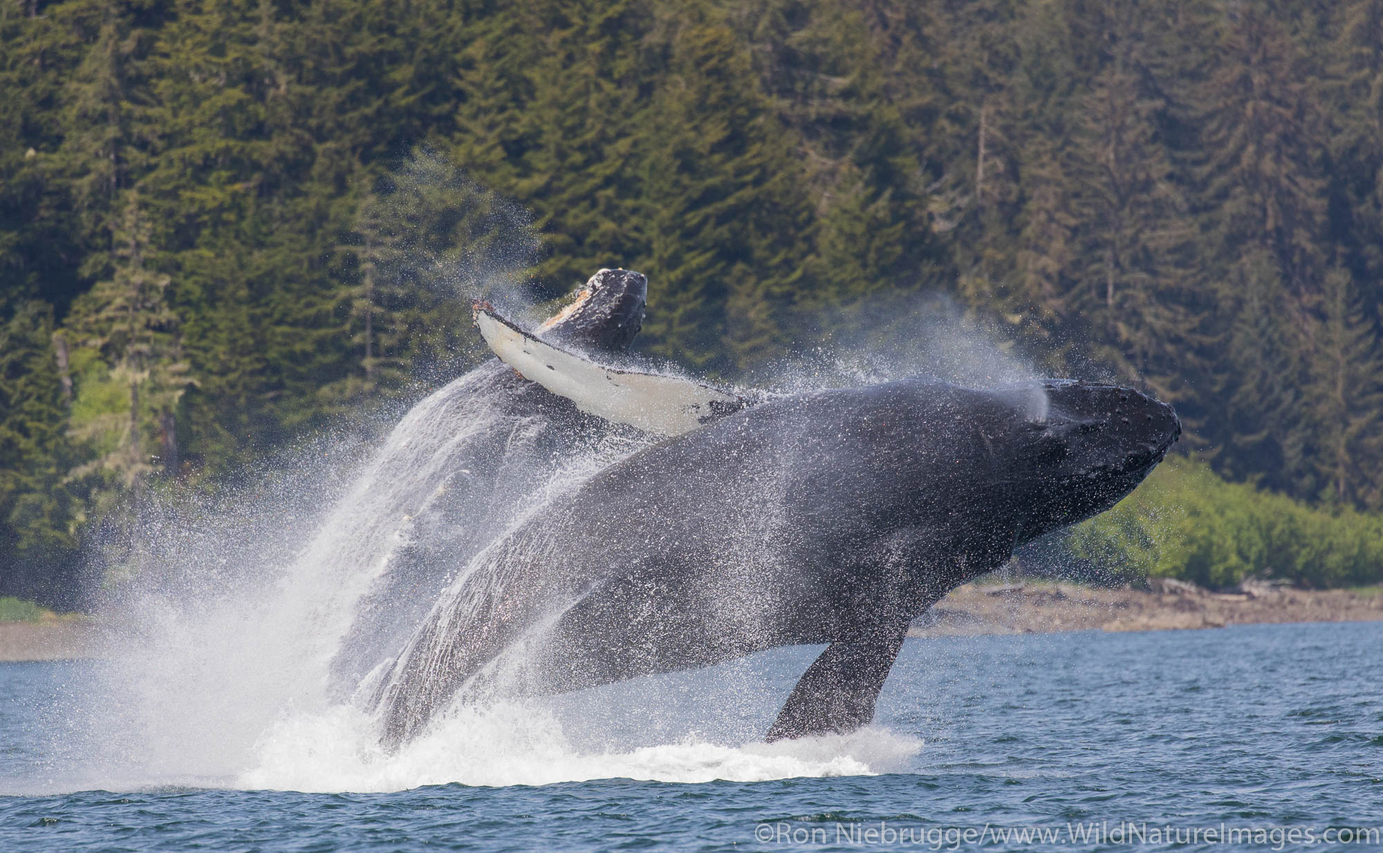 Tongass National Forest, Inside Passage, Alaska, humpback whale, photo