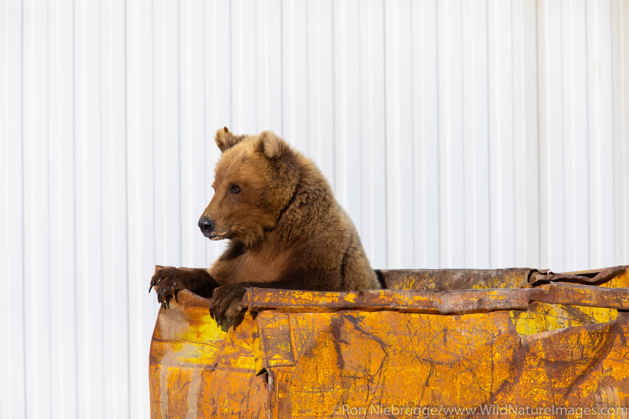 Brown bear in a dumpster, Deadhorse, Alaska.