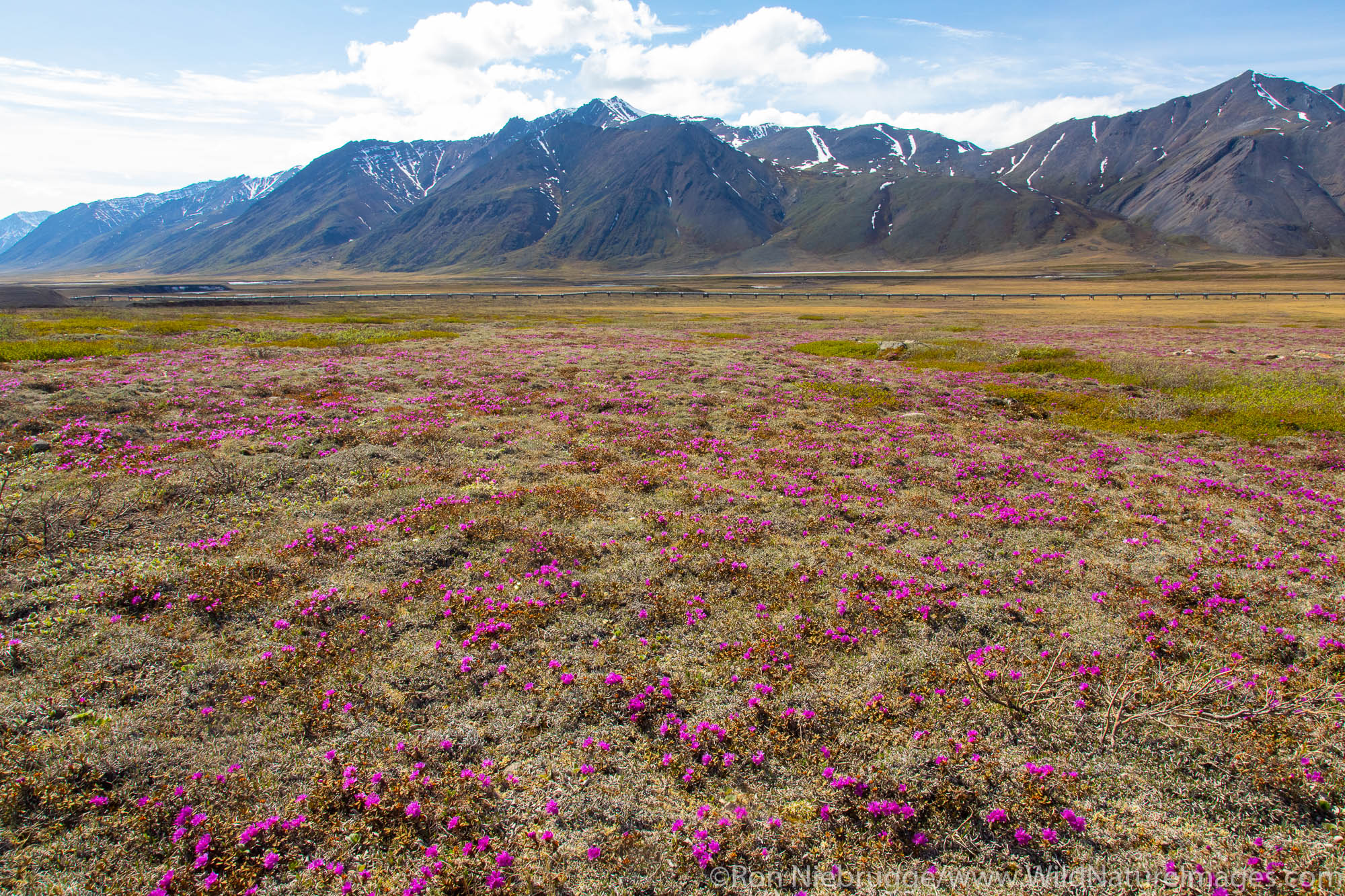 Wildflowers, Brooks Range, Alaska.