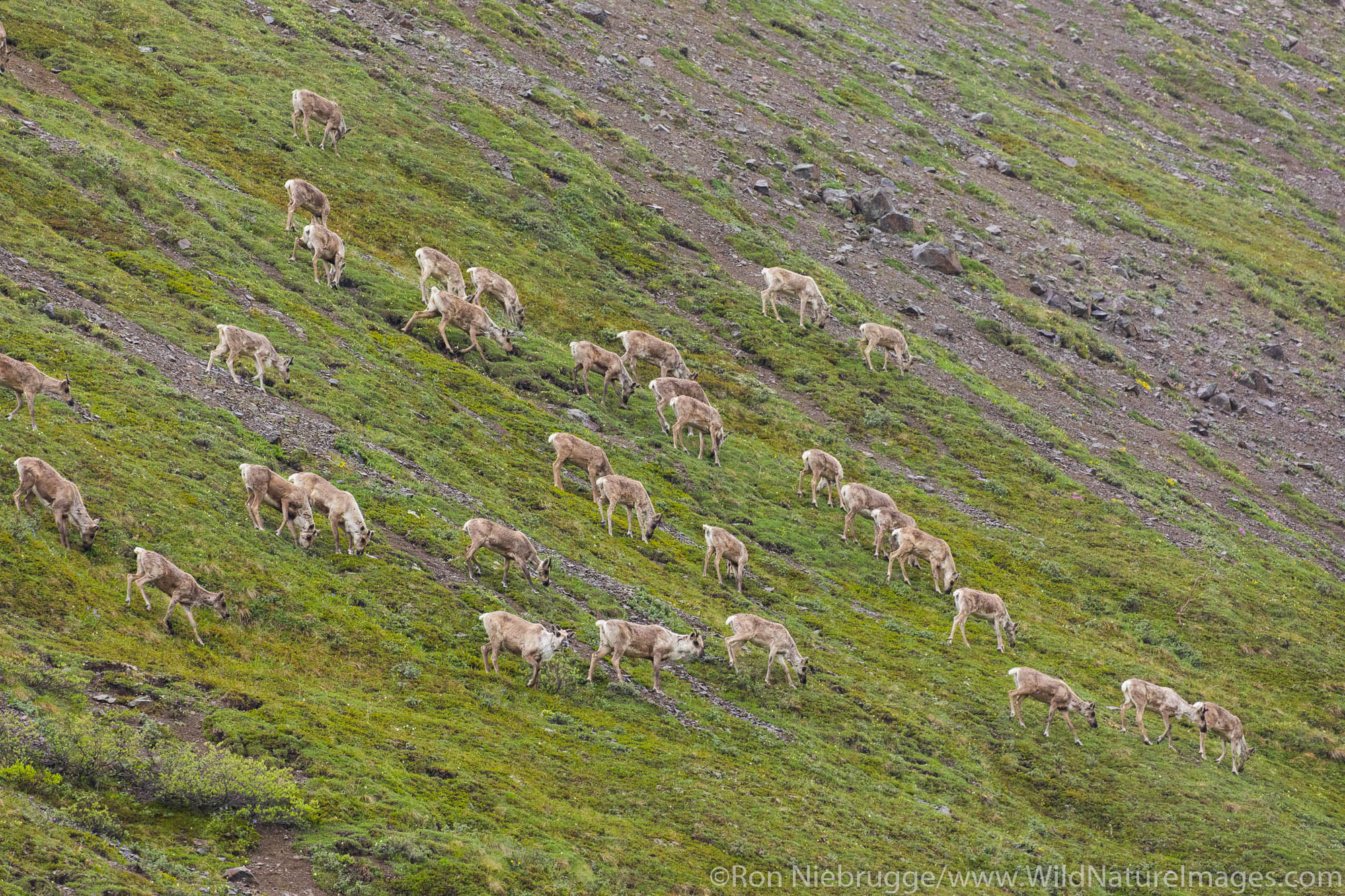 Herd of Caribou, Denali National Park, Alaska.