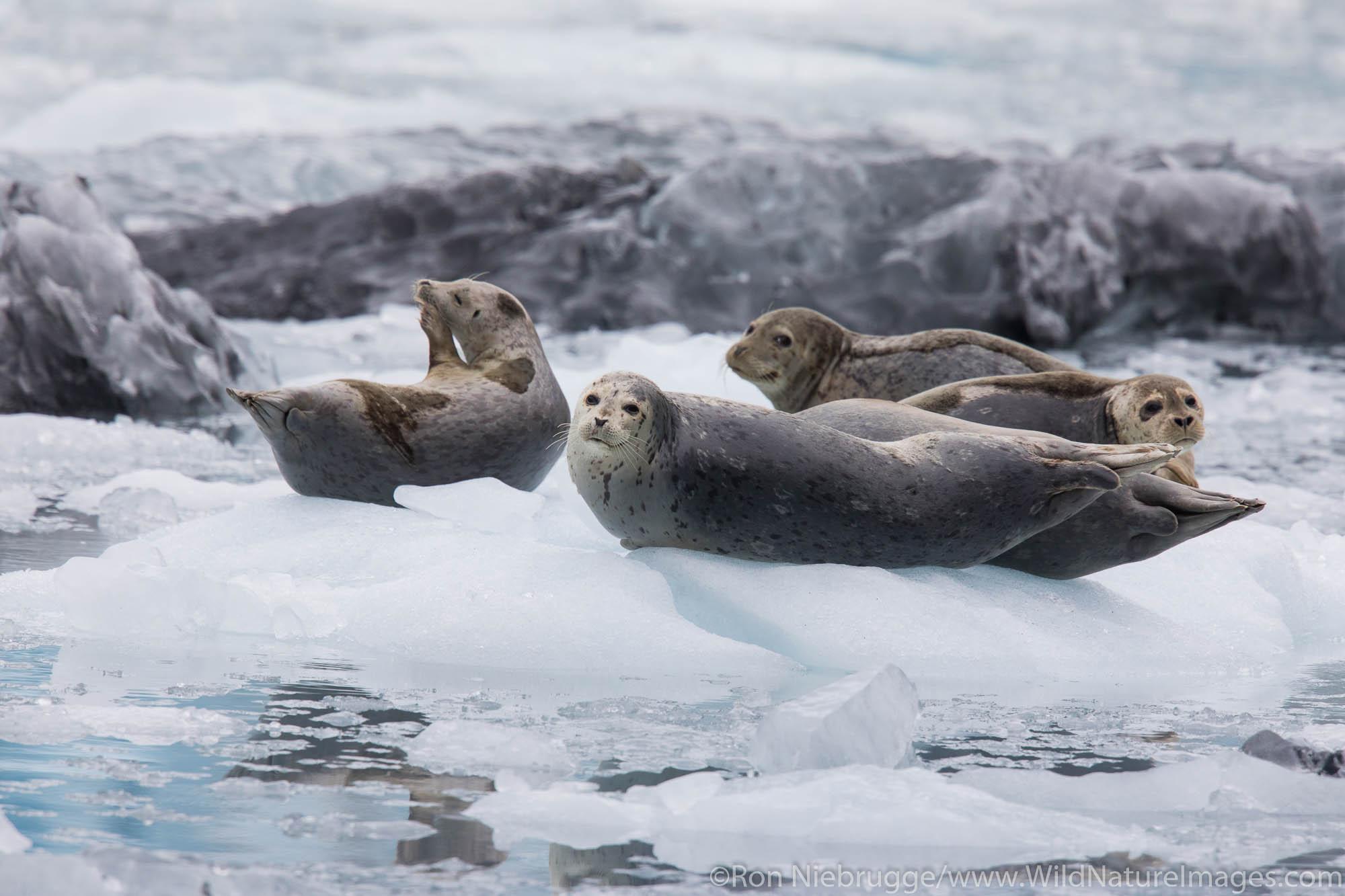 Harbor Seals, Prince William Sound, Alaska.