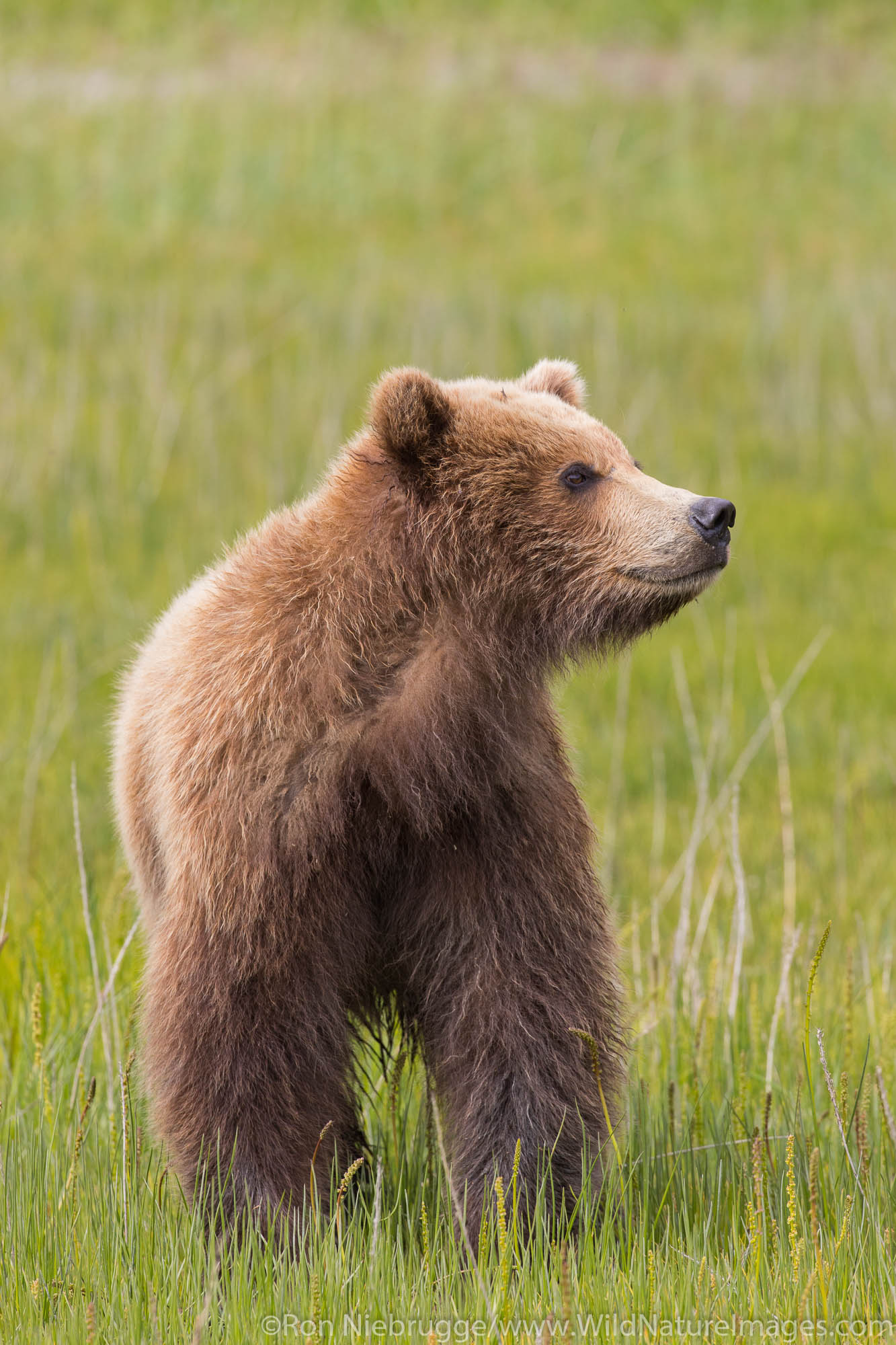 Brown Bear Cub, Lake Clark National Park, Alaska
