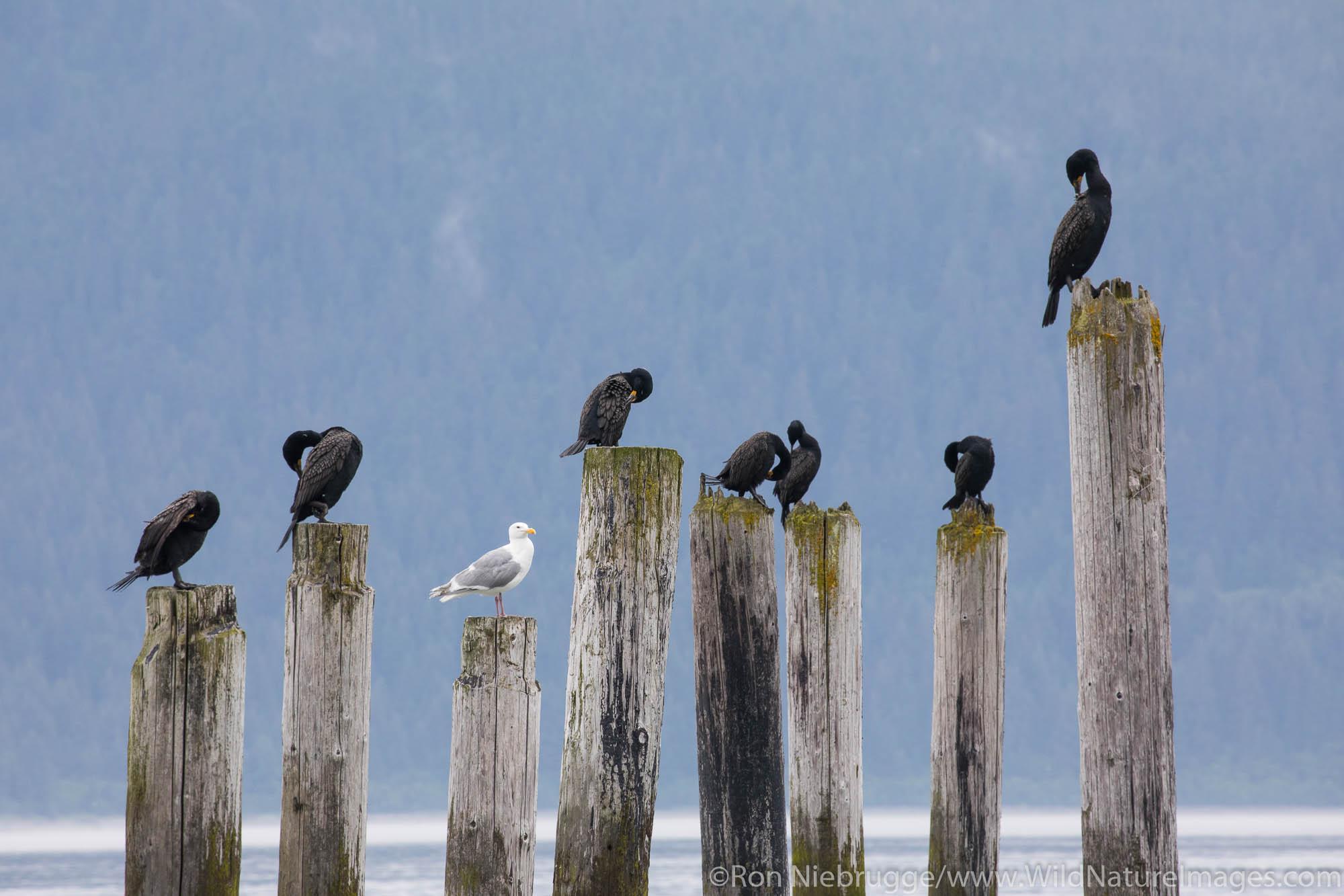 Comorants, Resurrection Bay, Seward, Alaska.