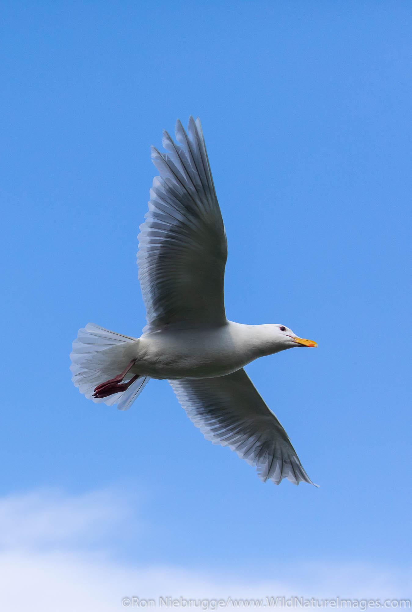 Glaucous-winged Gull in flight, Resurrection Bay, Seward, Alaska.