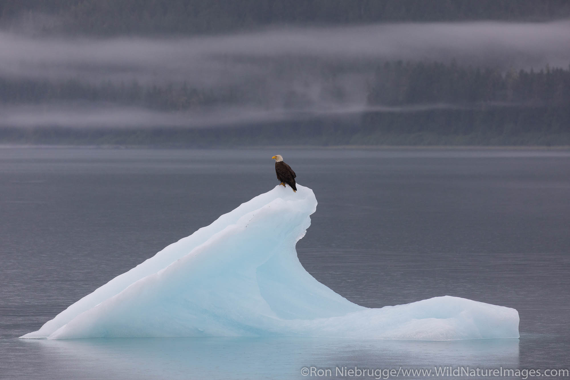 Bald Eagle on iceberg, Endicott Arm, Alaska.