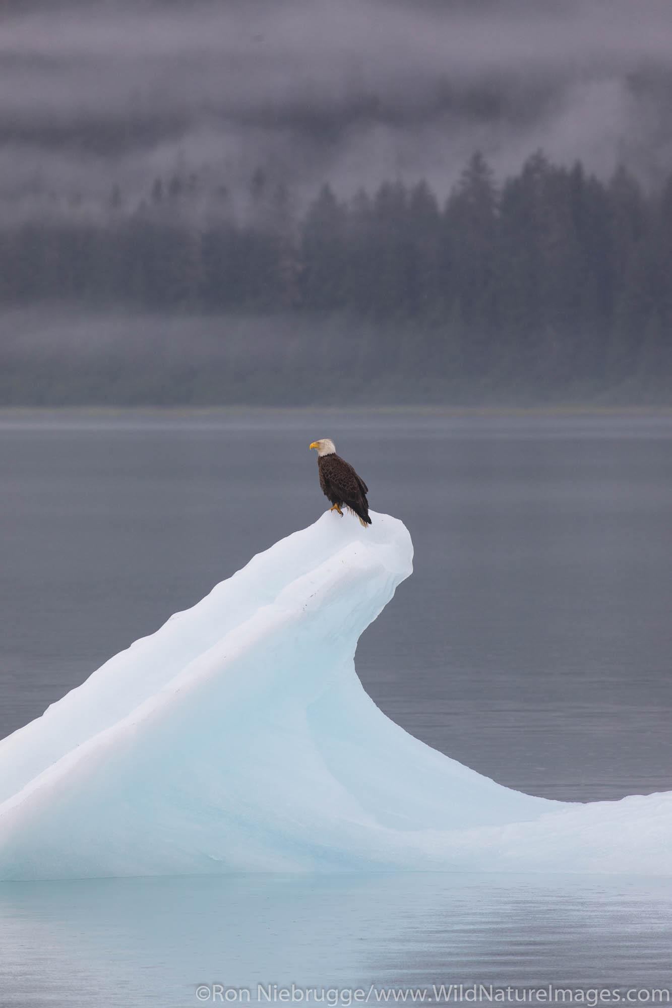 Bald Eagle on iceberg, Endicott Arm, Alaska.