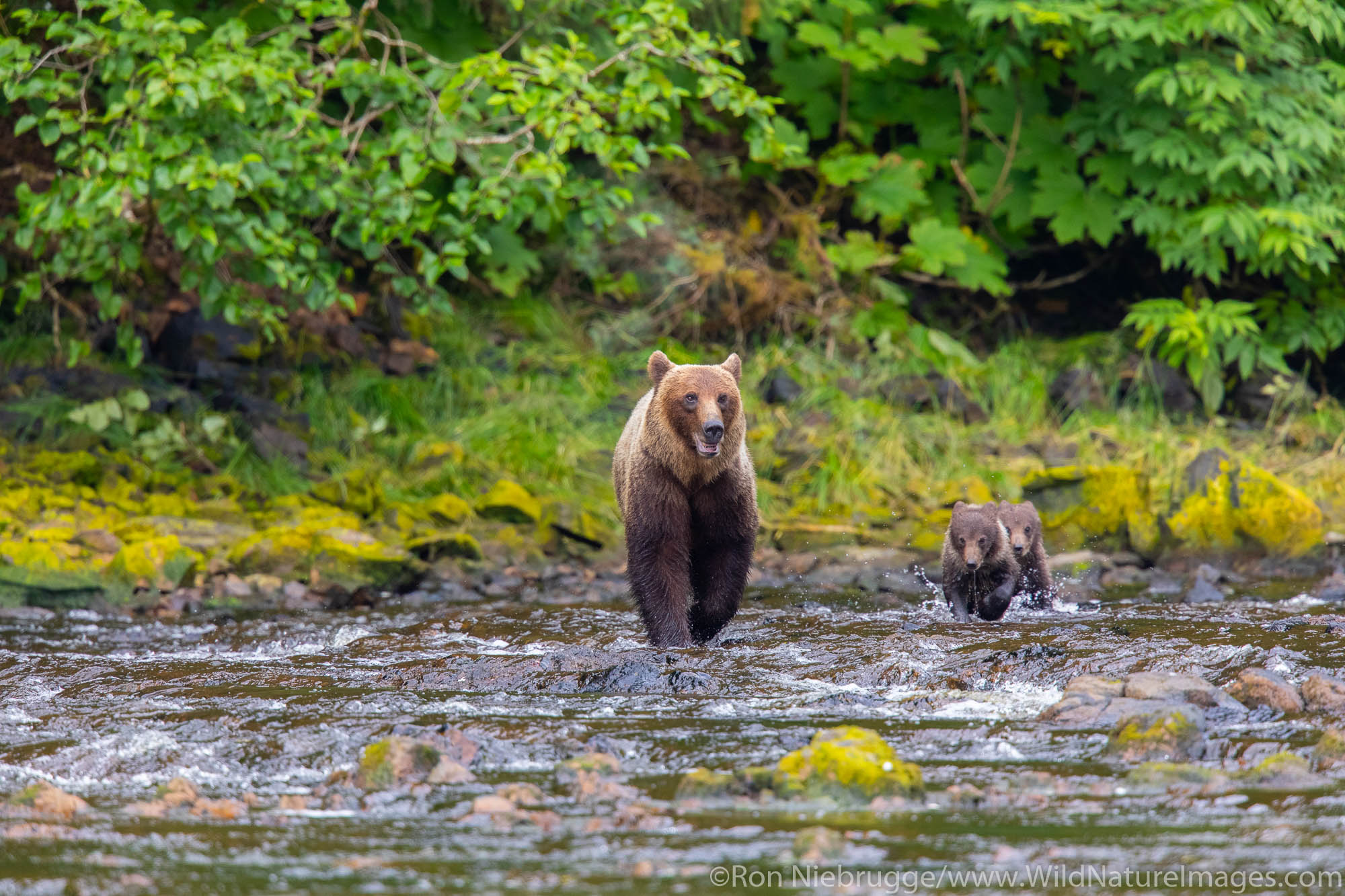 Grizzly Bear sow with cubs on Chichagof Island, Tongass National Forest, Alaska.