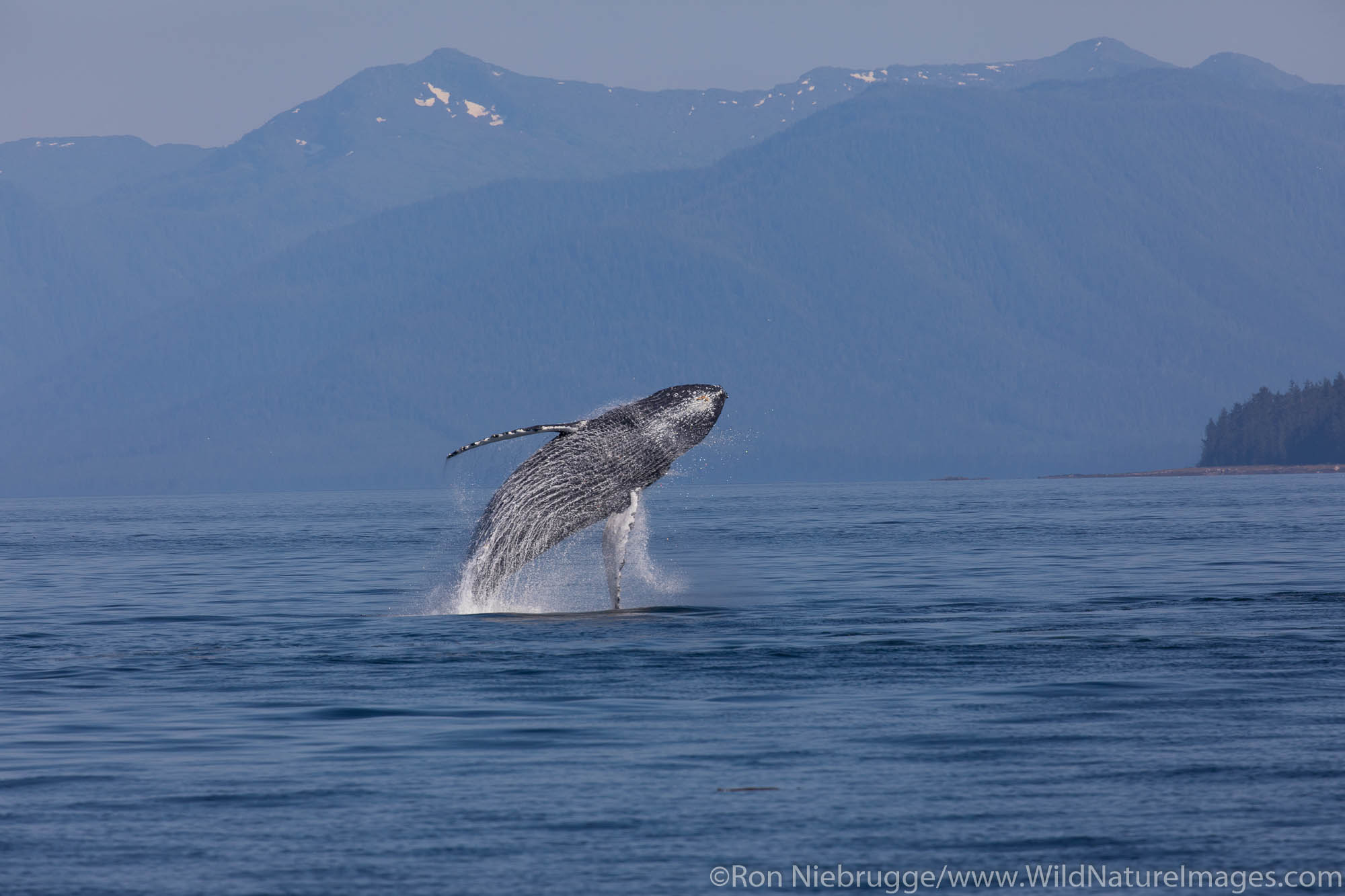 Breaching Humpback whale, Tongass National Forest, Alaska.