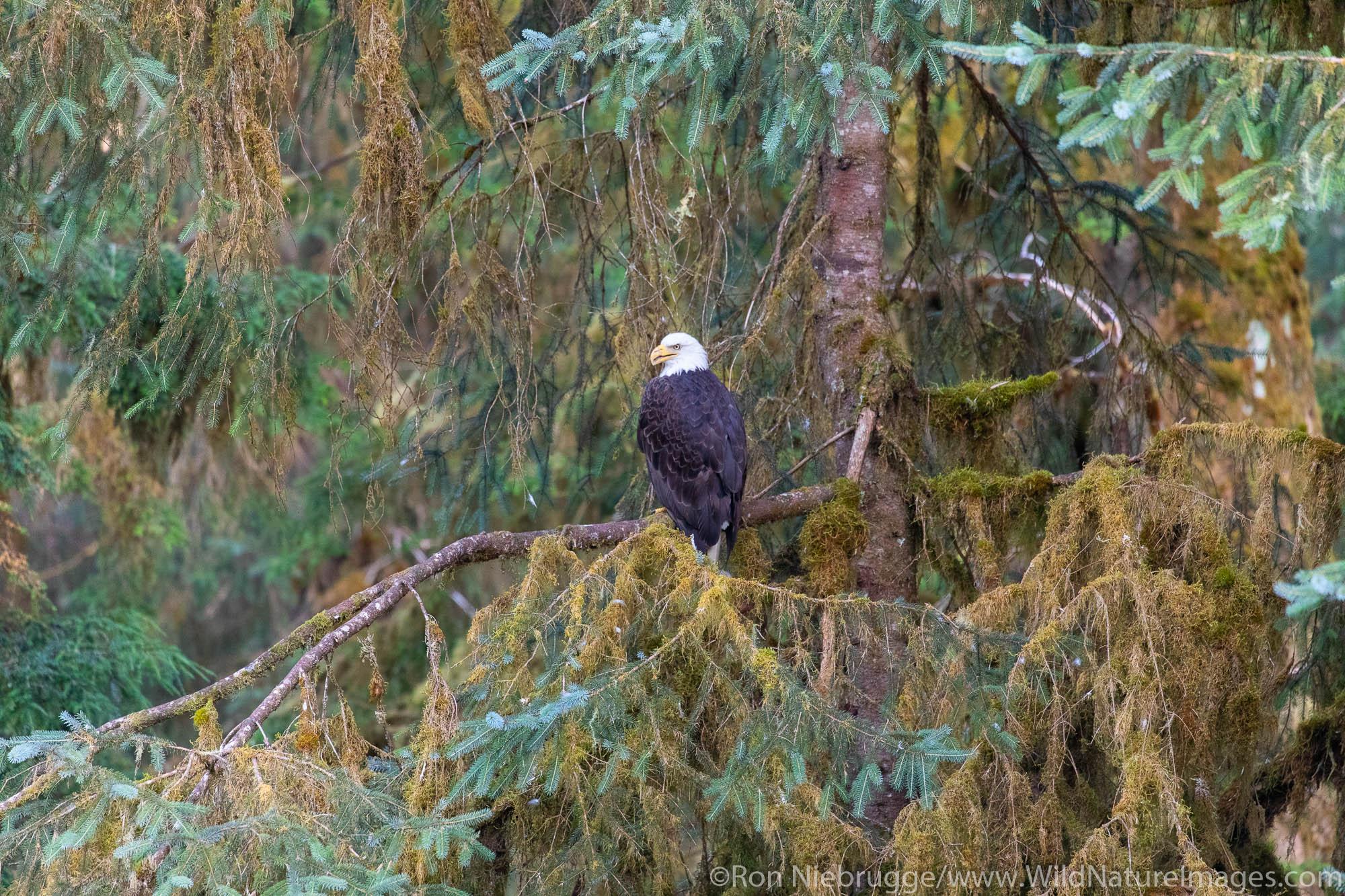 Bald Eagle, Anan Creek Wildlife Viewing site, Tongass National Forest, Alaska.